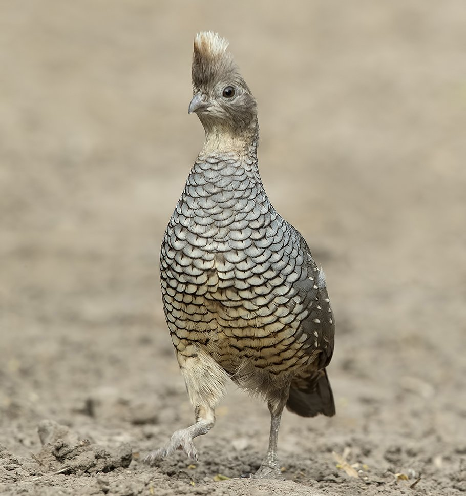 scaled, quail, чешуйчатая, куропатка, texas, техас, Elizabeth E
