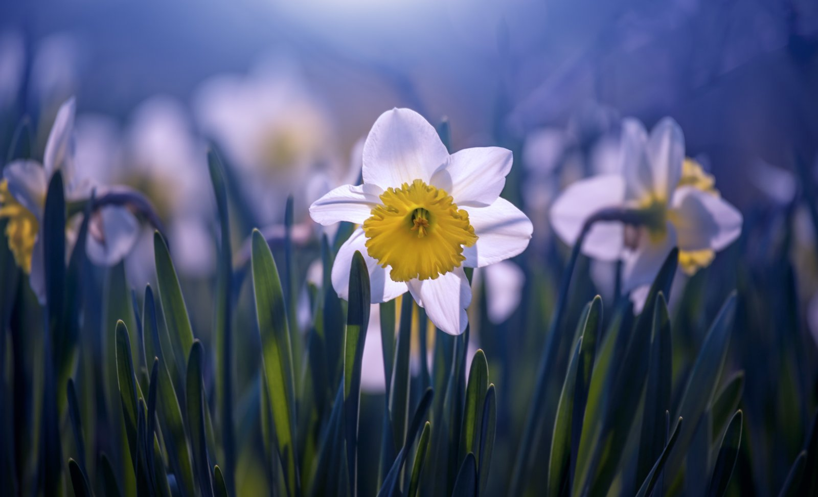 daffodil flower blossom spring white yellow light , Tiger Seo