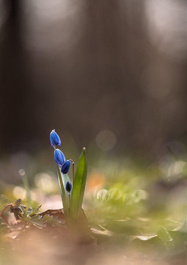 пролеска, макро, первоцвет, цветок, апрель, весна, позитив, воронеж,, Геннадий Мещеряков