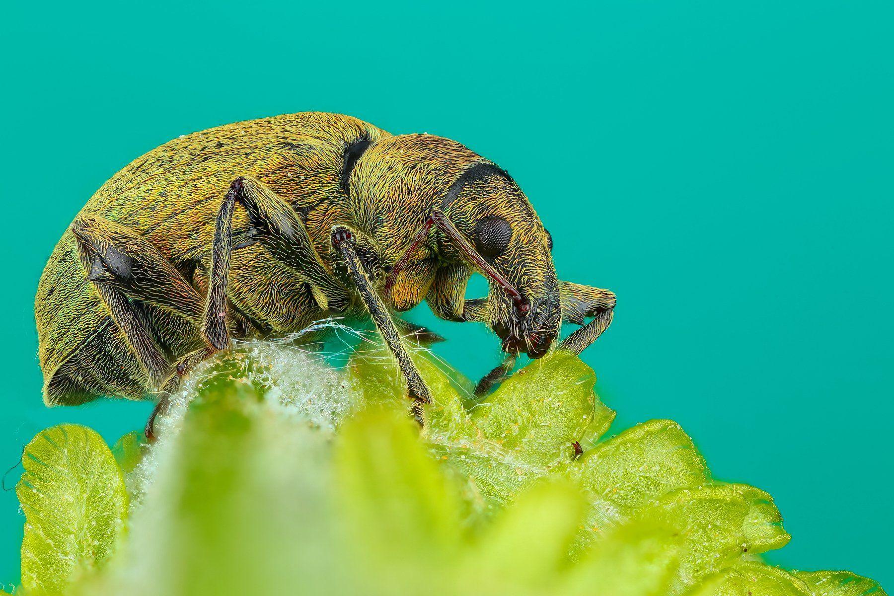 макро жук насекомое животное зеленый , Шаповалов Андрей