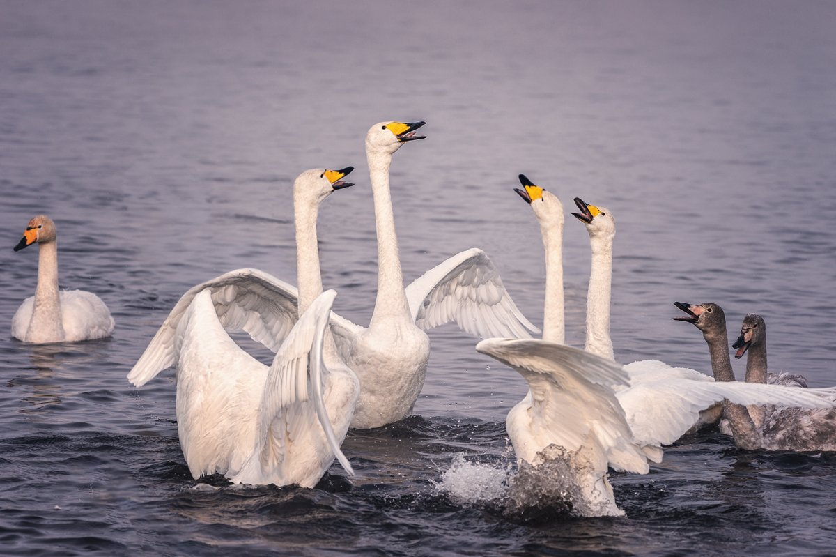 Лебеди, Озеро, Светлое, Natalya P.