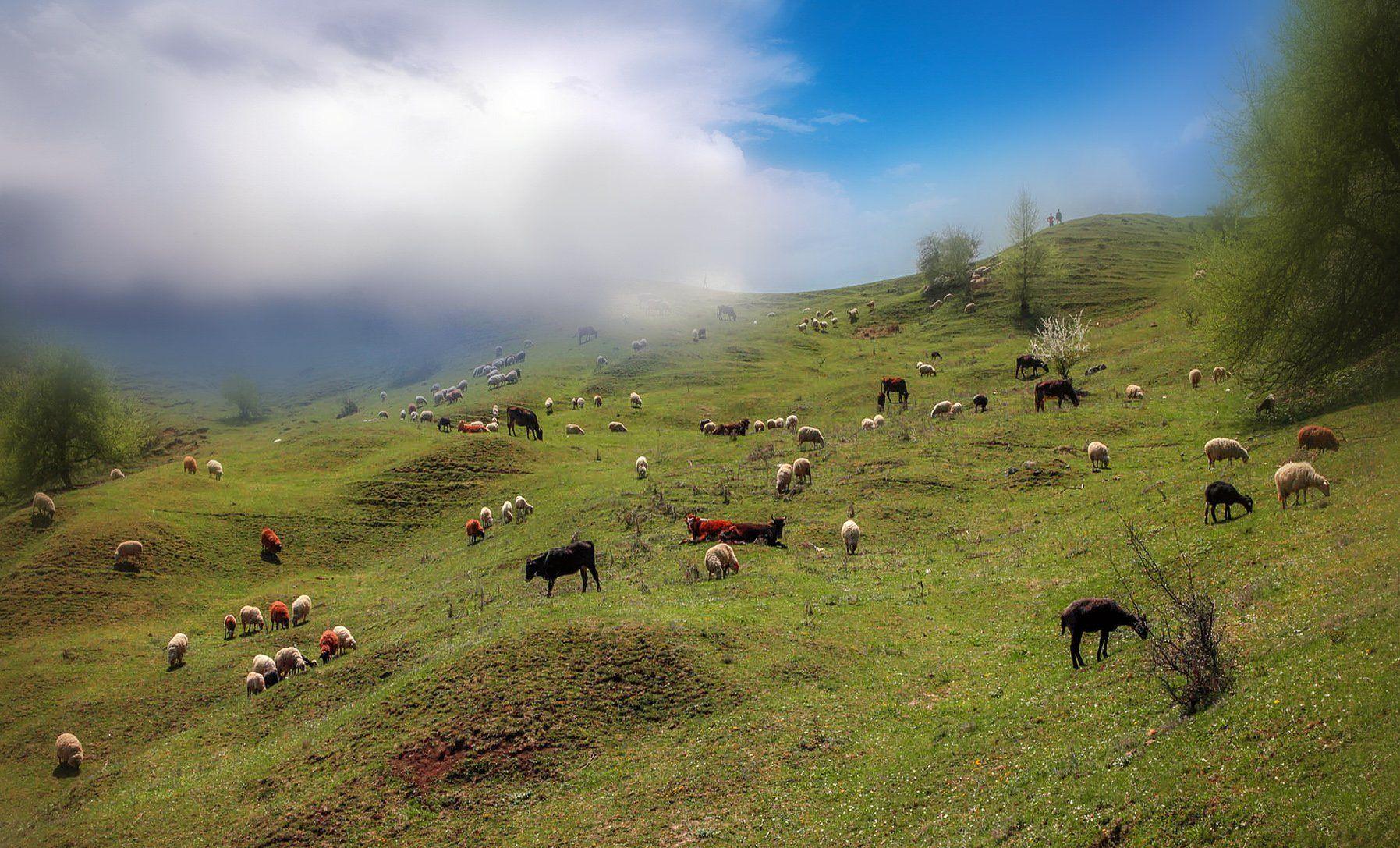 горы,весна,овцы,природа,дагестан., Magov Marat