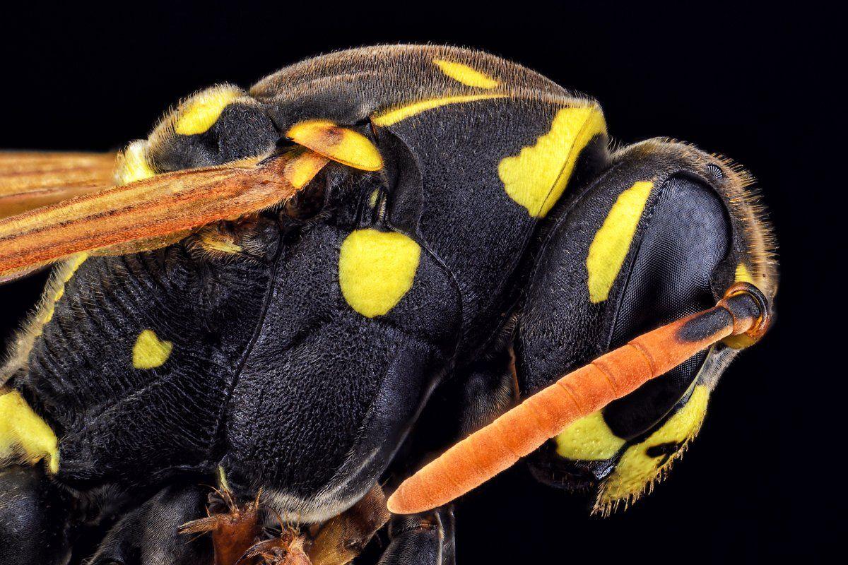 Оса, полосатая муха, насекомое, макро, глаза, сетка., Сергей Жуковский