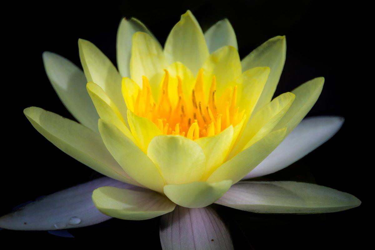 macro, Lotus, black background, flowers, single, Nikolay