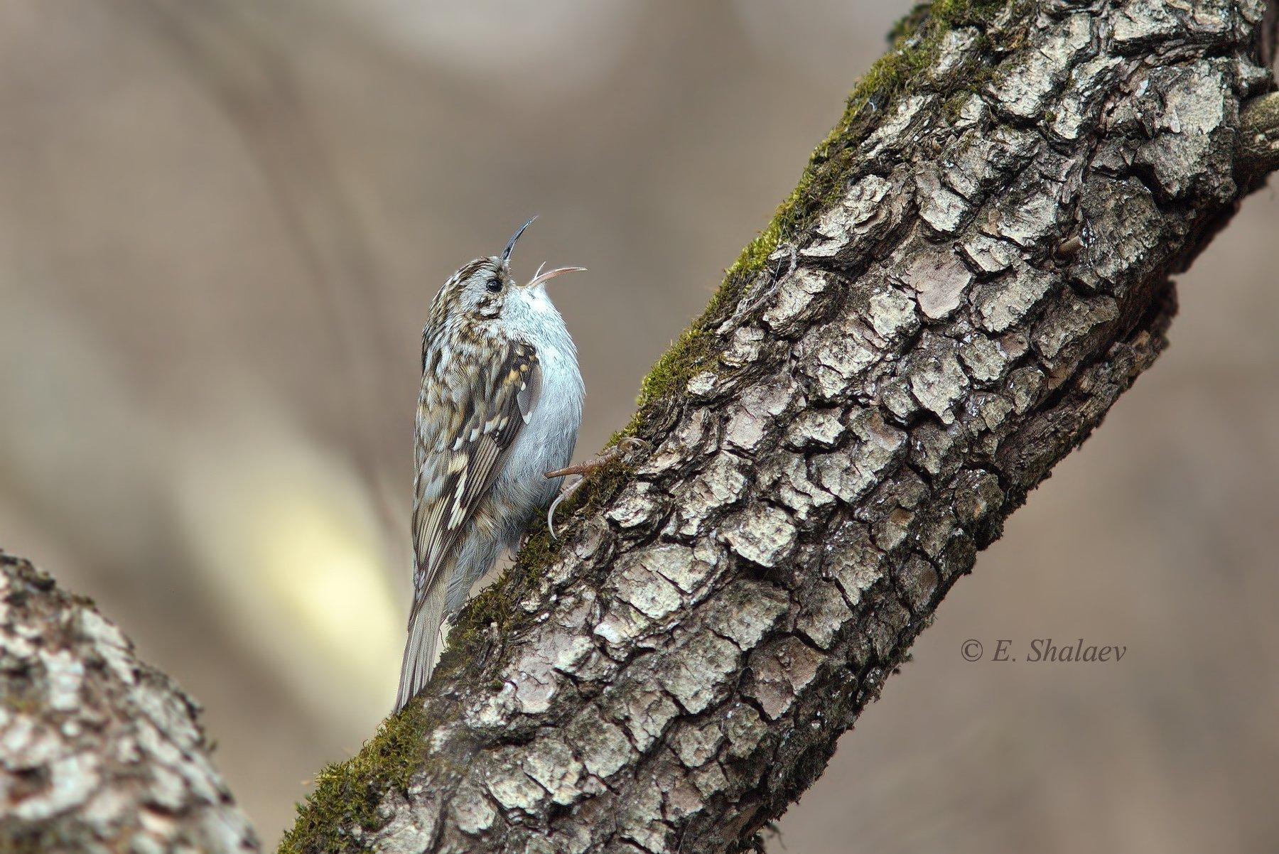 birds,certhia familiaris,eurasian treecreeper,обыкновенная пищуха,птица,птицы,фотоохота, Евгений
