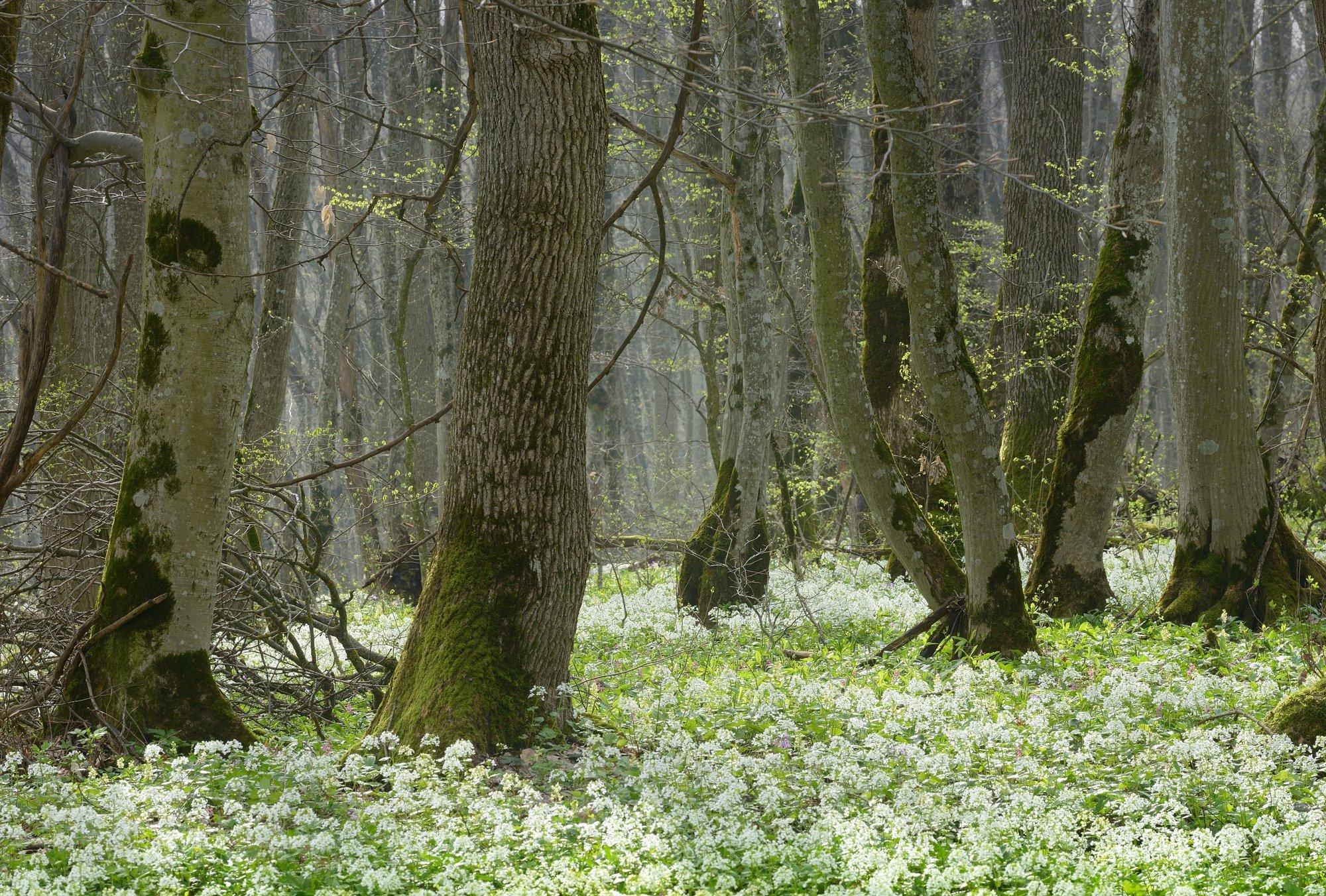 лес весна цветы, Александр Жарников
