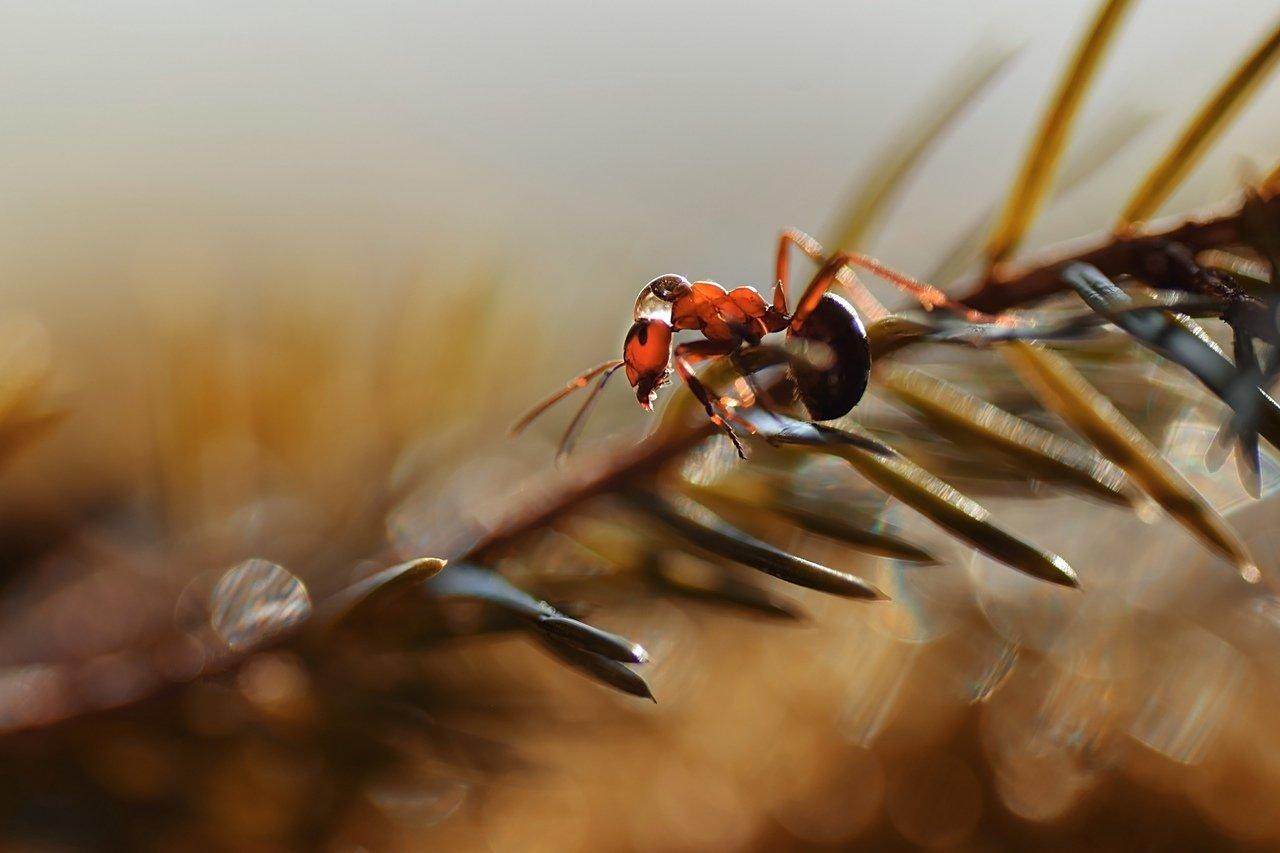 макро, муравей, тамрон, природа, Лапшина Владлена