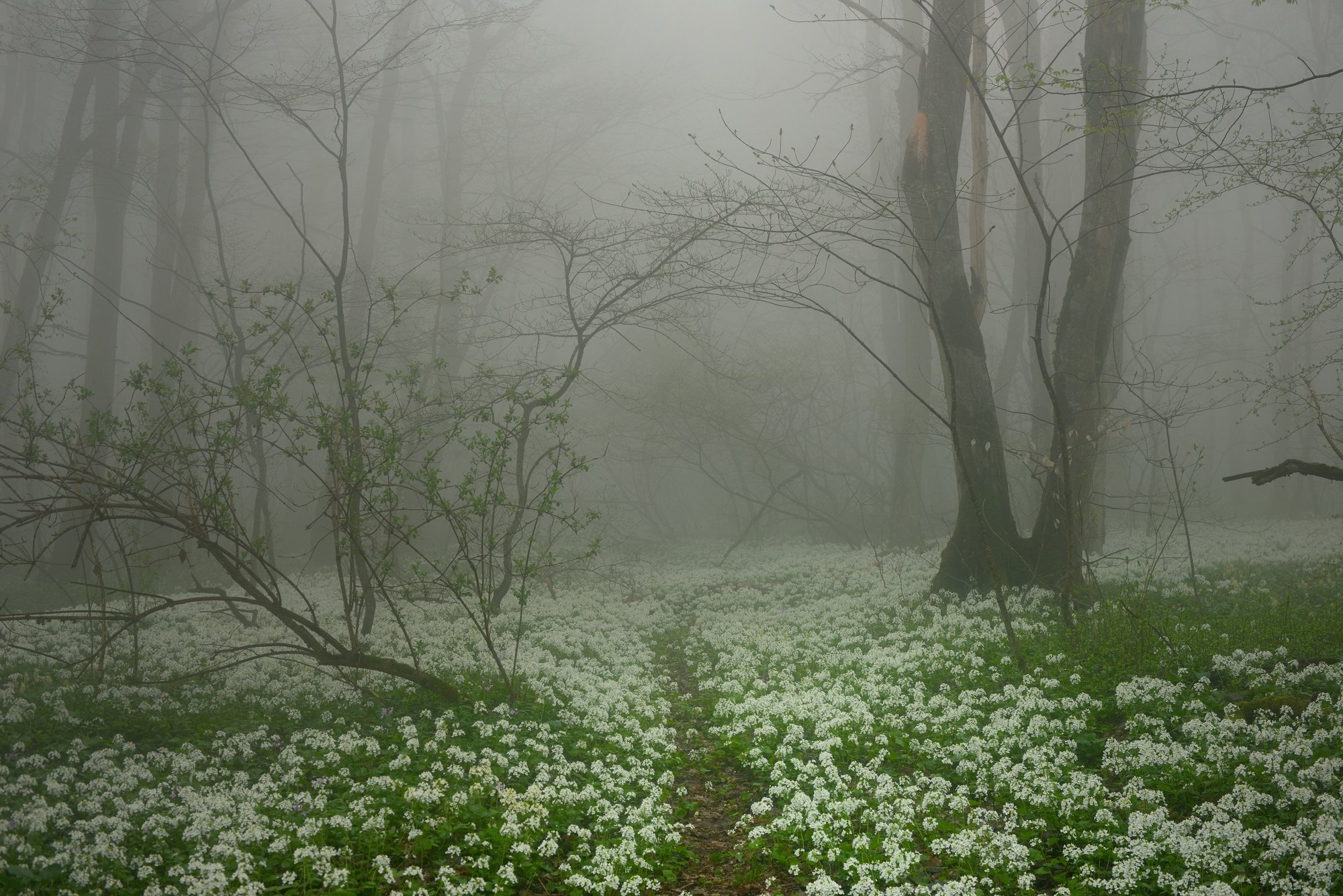 лес туман весна цветы тропинка, Александр Жарников