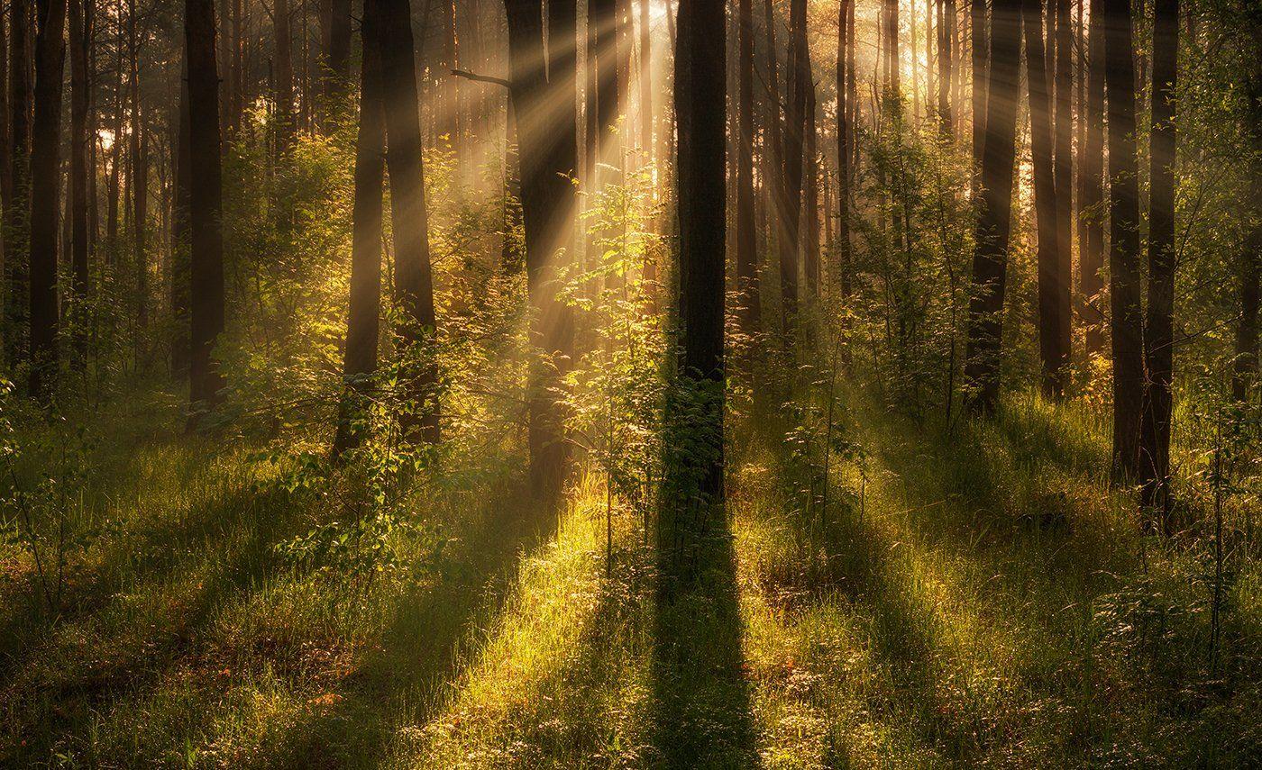 landscape, пейзаж, утро, лес,деревья, солнечный свет,  солнце, природа, солнечные лучи,  прогулка, весна, Шерман Михаил