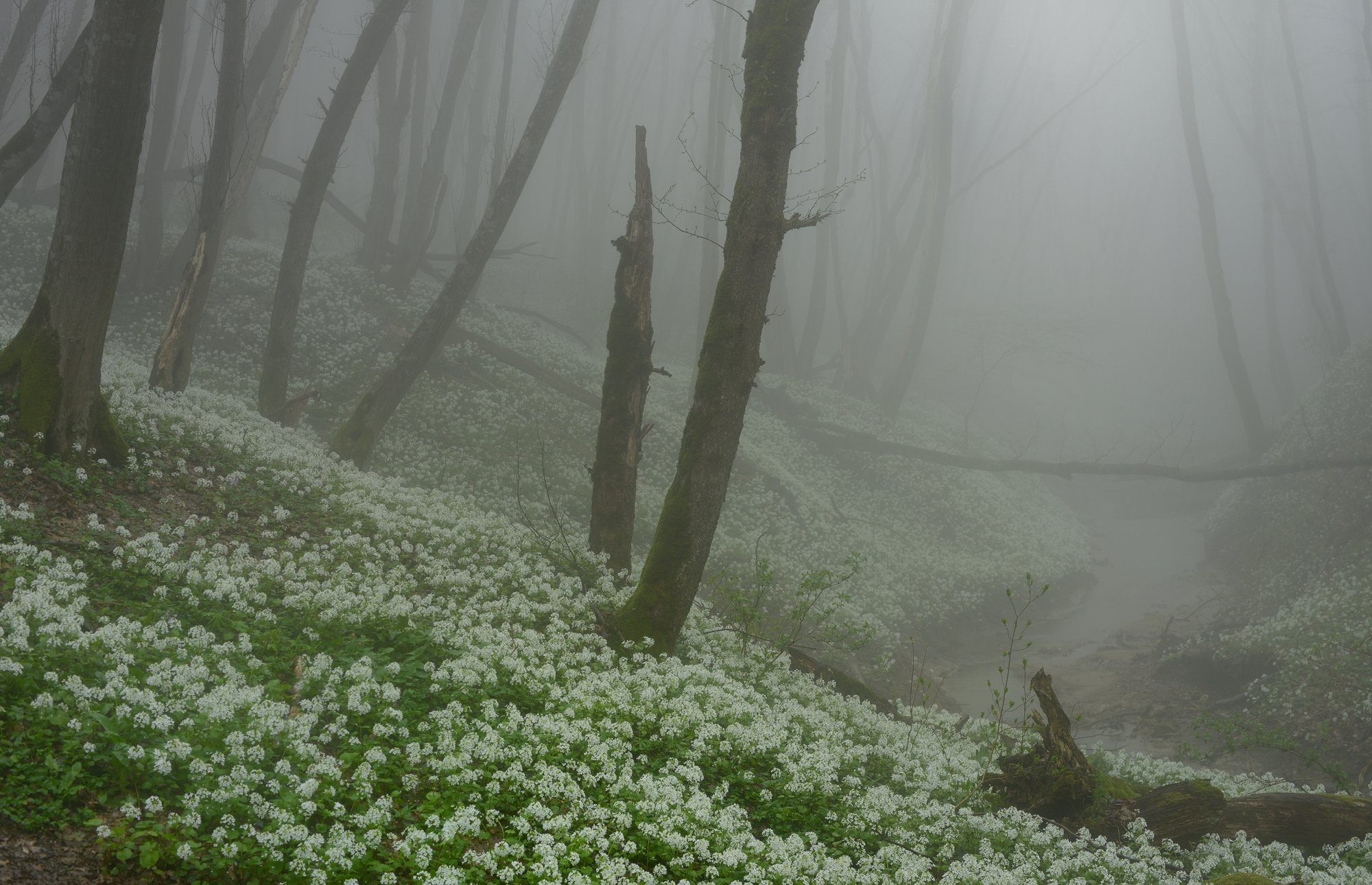 лес туман весна цветы ручей, Александр Жарников