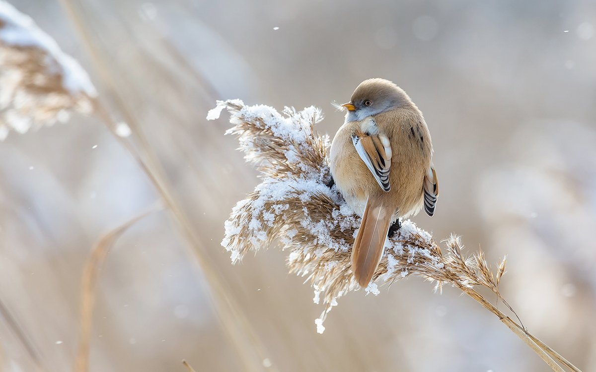 синица, усатая синица, зима, камыш, птица, дикая птица, орнитология, дикая природа, фотоохота,, Dubinkin Victor