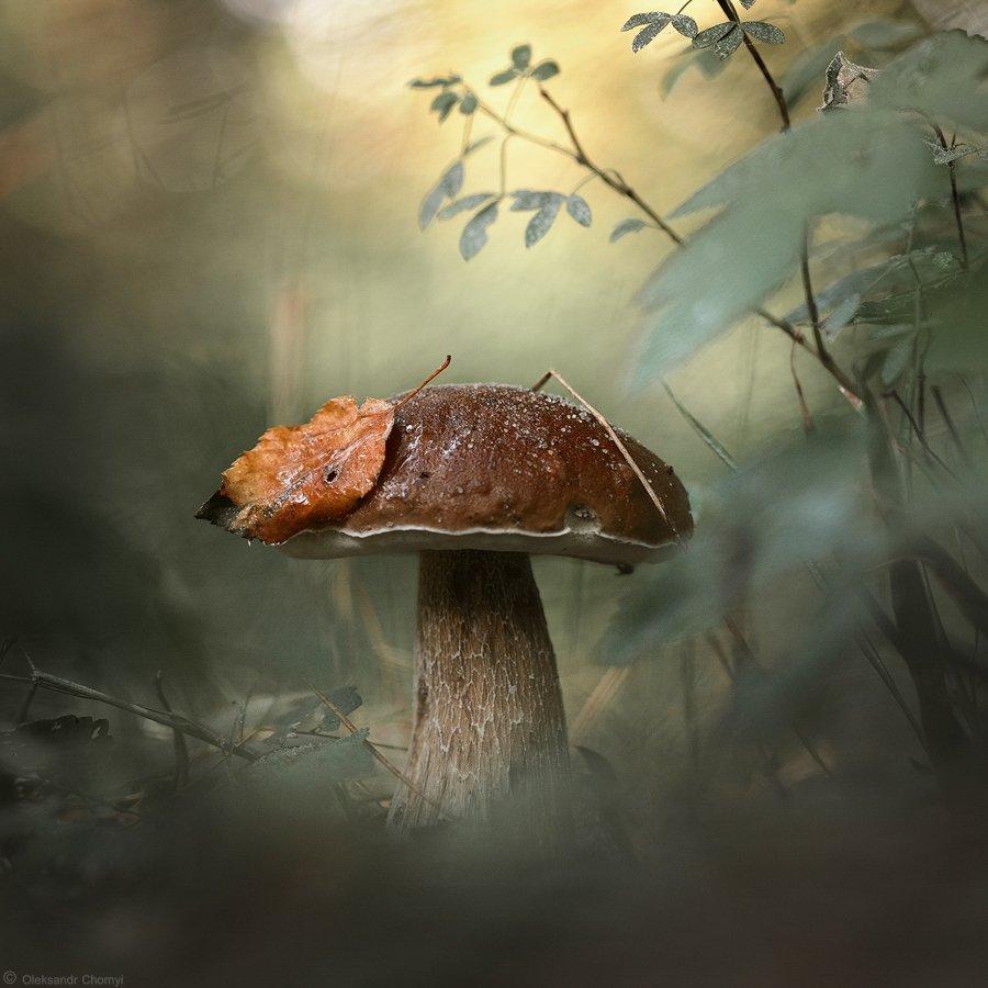украина, коростышев, лес, гриб, белый, макро, макро мир, макро красота, волшебство, сказка, красота, жизнь, мир, тишина, трава, зеленый, фон, боке, лето, осень, листик, глубина, фотограф, чорный,, Александр Чорный