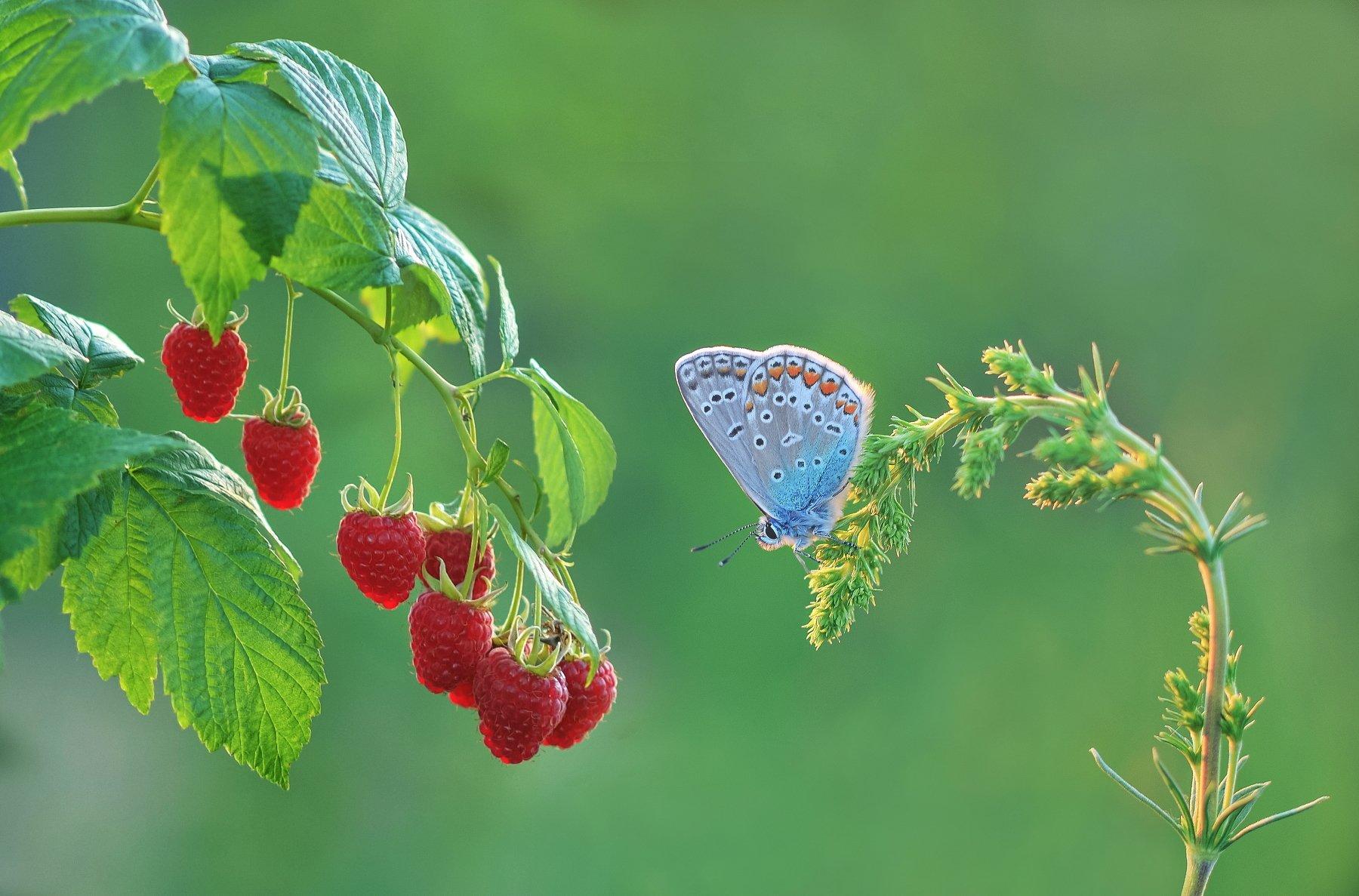 бабочка, малина, закат, природа, Александр Гвоздь