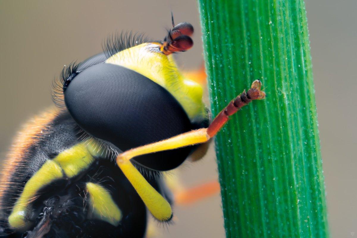 Syrphidae, macro, 5:1, bug, Wojciech Grzanka