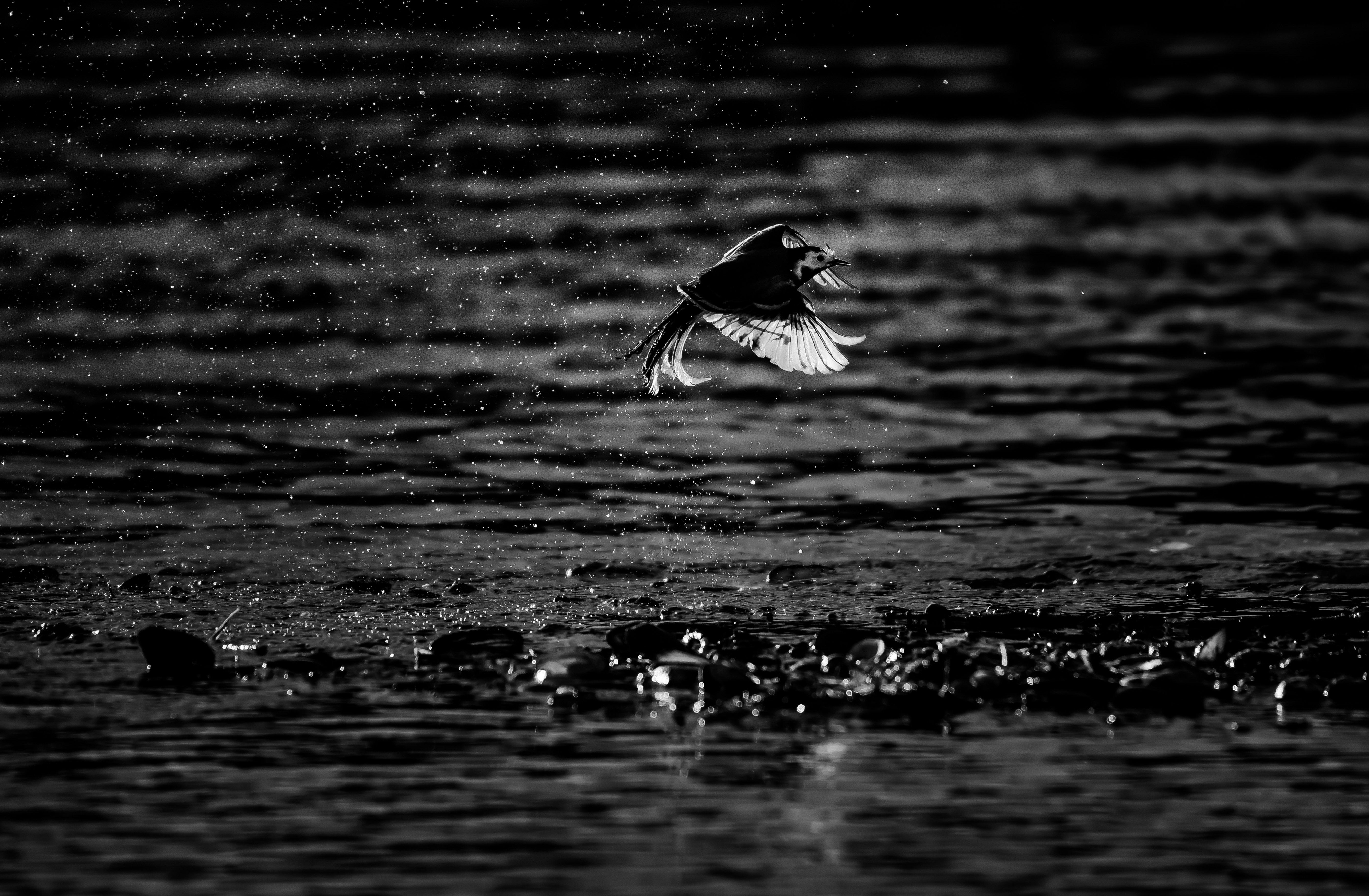 трясогузка, белая трясогузка, motacilla alba, птица в полёте, чб, полёт, крыло, контровый свет, москва река, подмосковье, одинцовский район, аксиньино, Соварцева Ксения