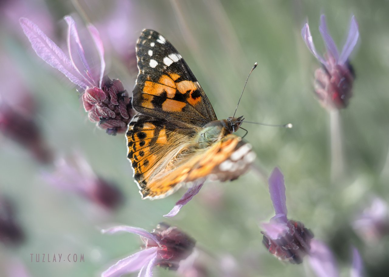 бабочки, макро, Владимир Тузлай