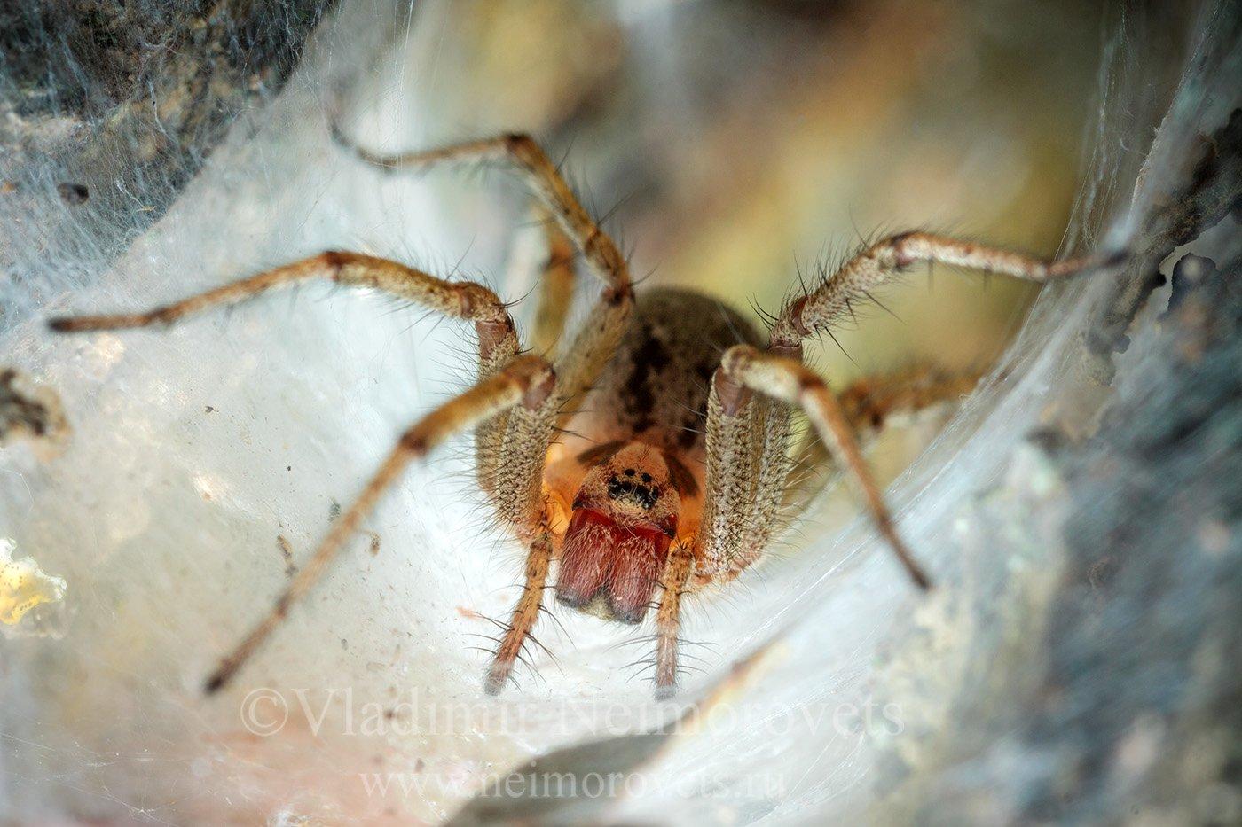agelena orientalis, agelenidae. web, caucasus, krasnodar territory, north west caucasus, northwestern caucasus, russia, grass spider, паук, spider, Владимир Нейморовец