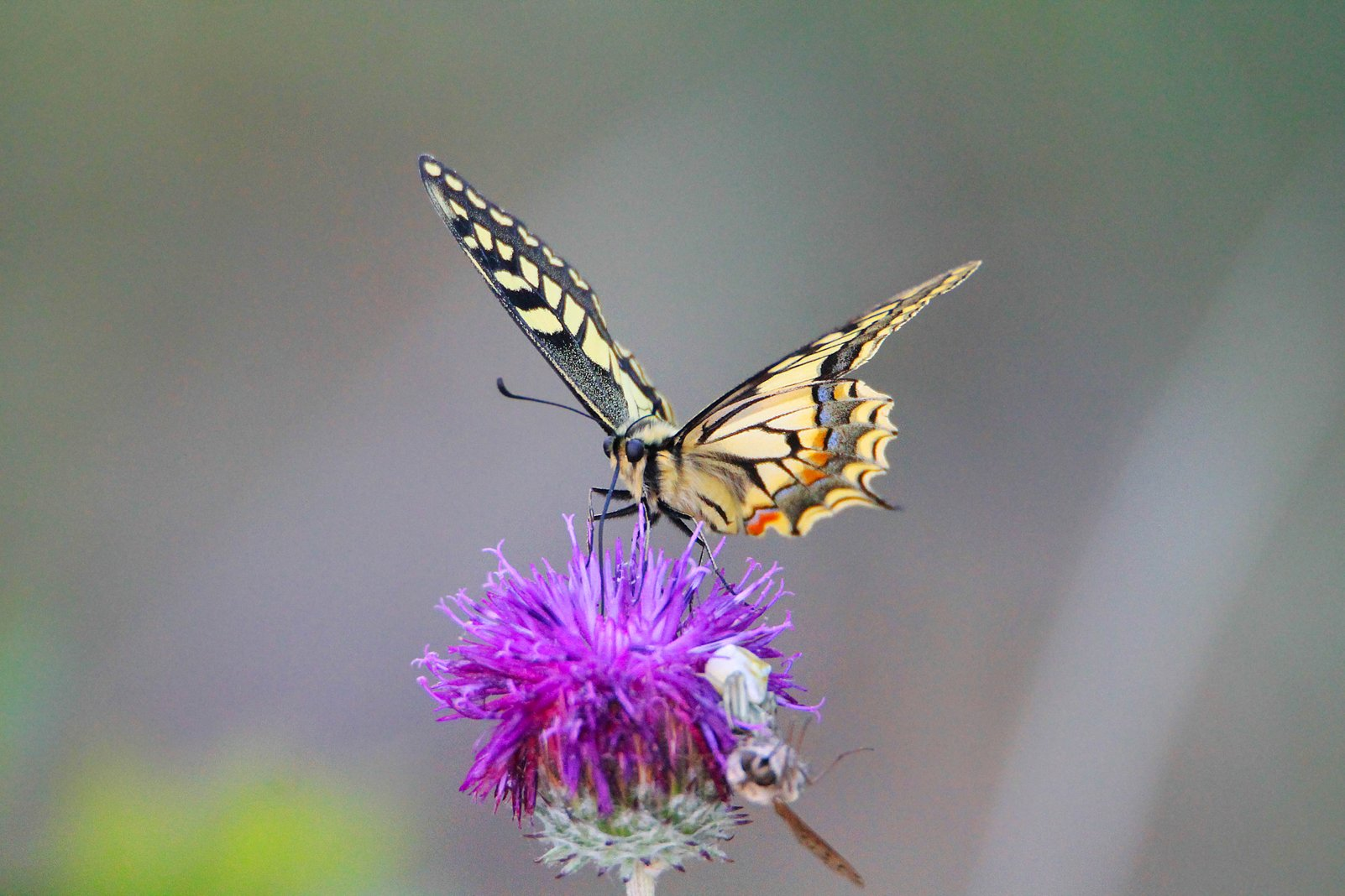 бабочка ,макро,фауна., Magov Marat