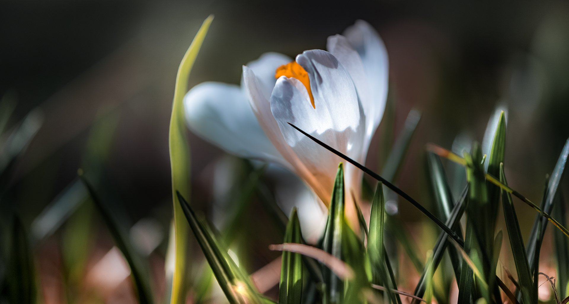 природа, макро, весна, подснежники, крокус, белый, Неля Рачкова