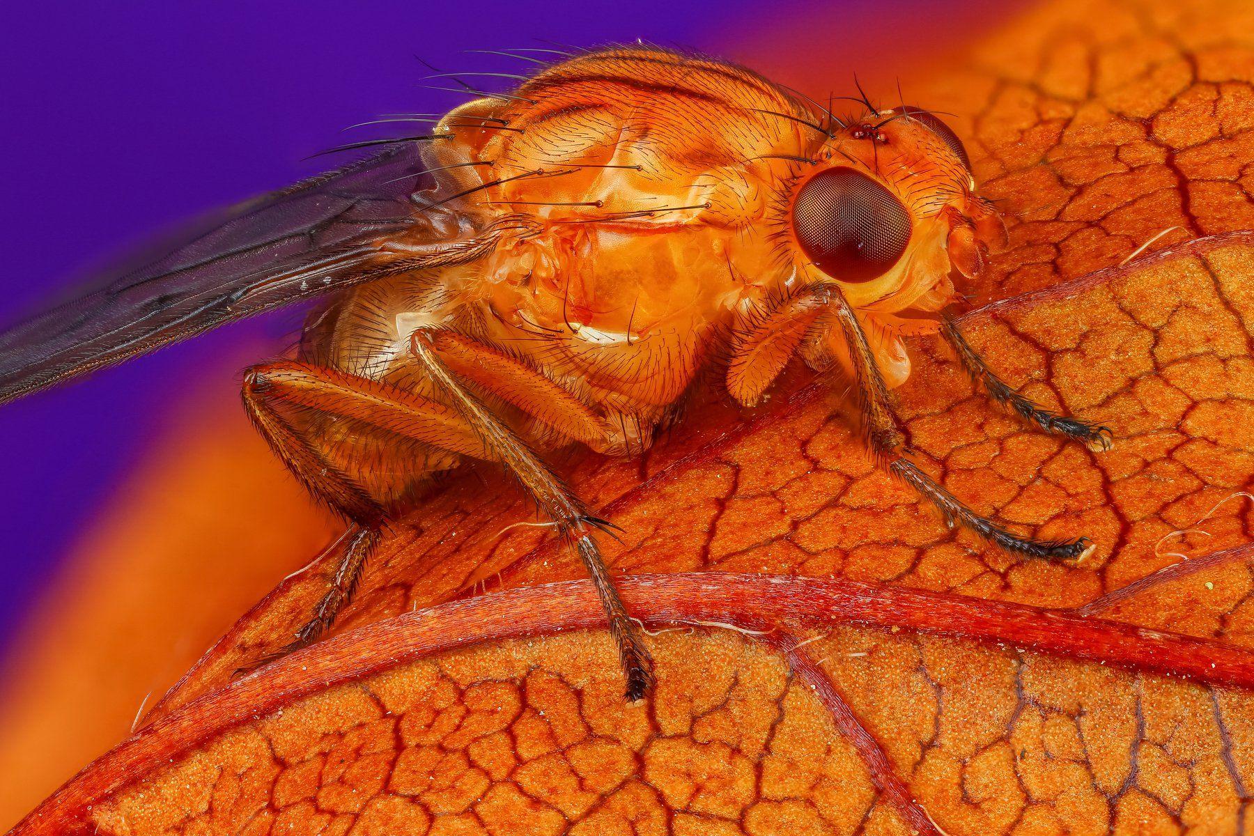 муха макро оранжевый фиолетовый насекомое животное, Шаповалов Андрей