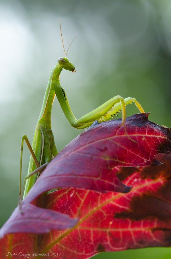 макро, богомол, лето, август, красиво, растение, насекомое, листок, украина, Сергій Мірошник