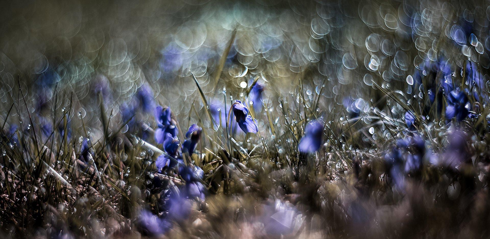 природа, макро, весна, цветы, фиалки, роса, боке, Неля Рачкова
