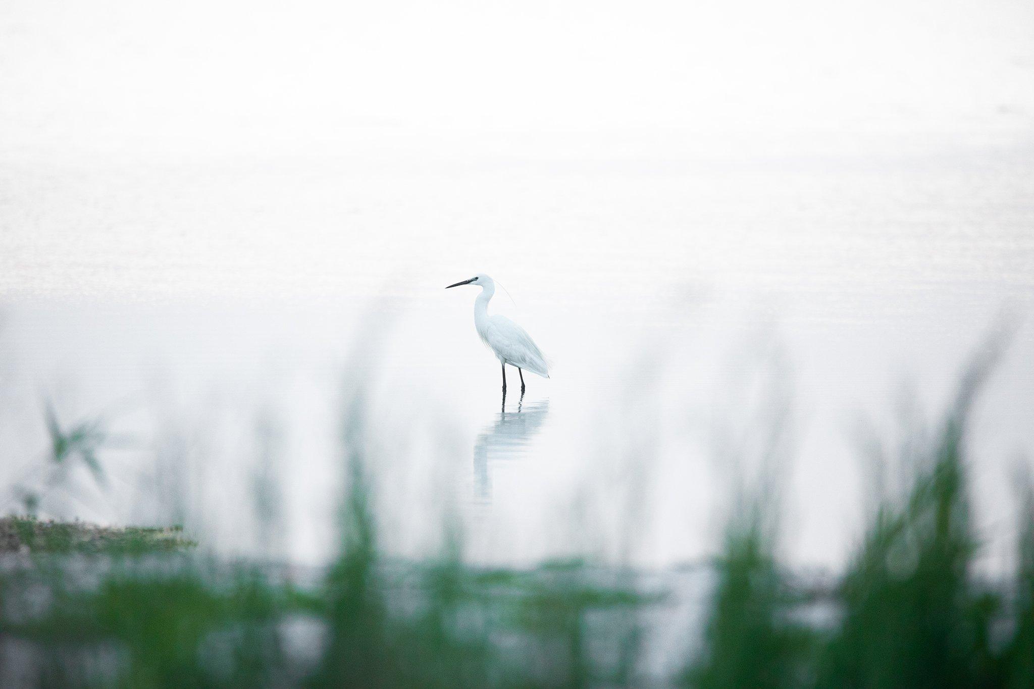 птицы, bird, wildlife, цапля малая, Дмитрий Иванов