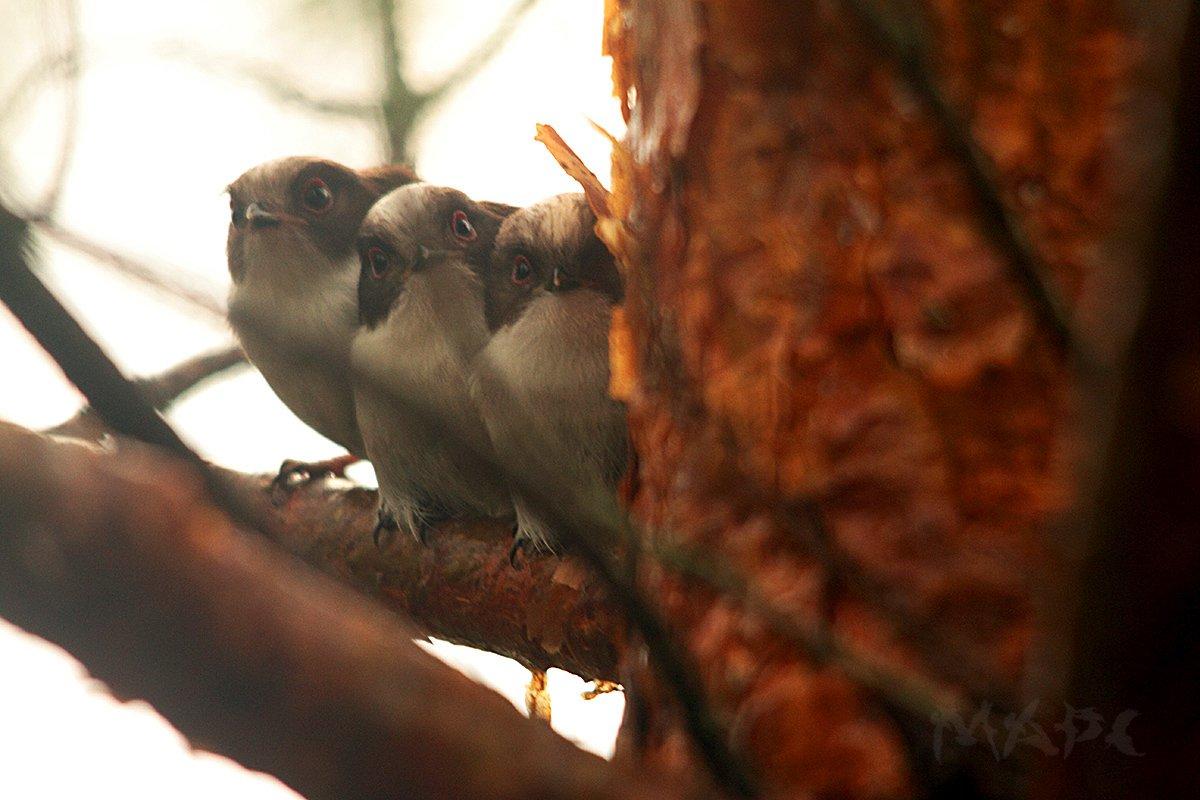 животные птицы птенцы ополовника, Шангареев Марс