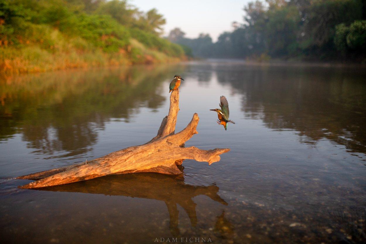 kingfisher, bird, wildlife, river, water,, Fichna Adam