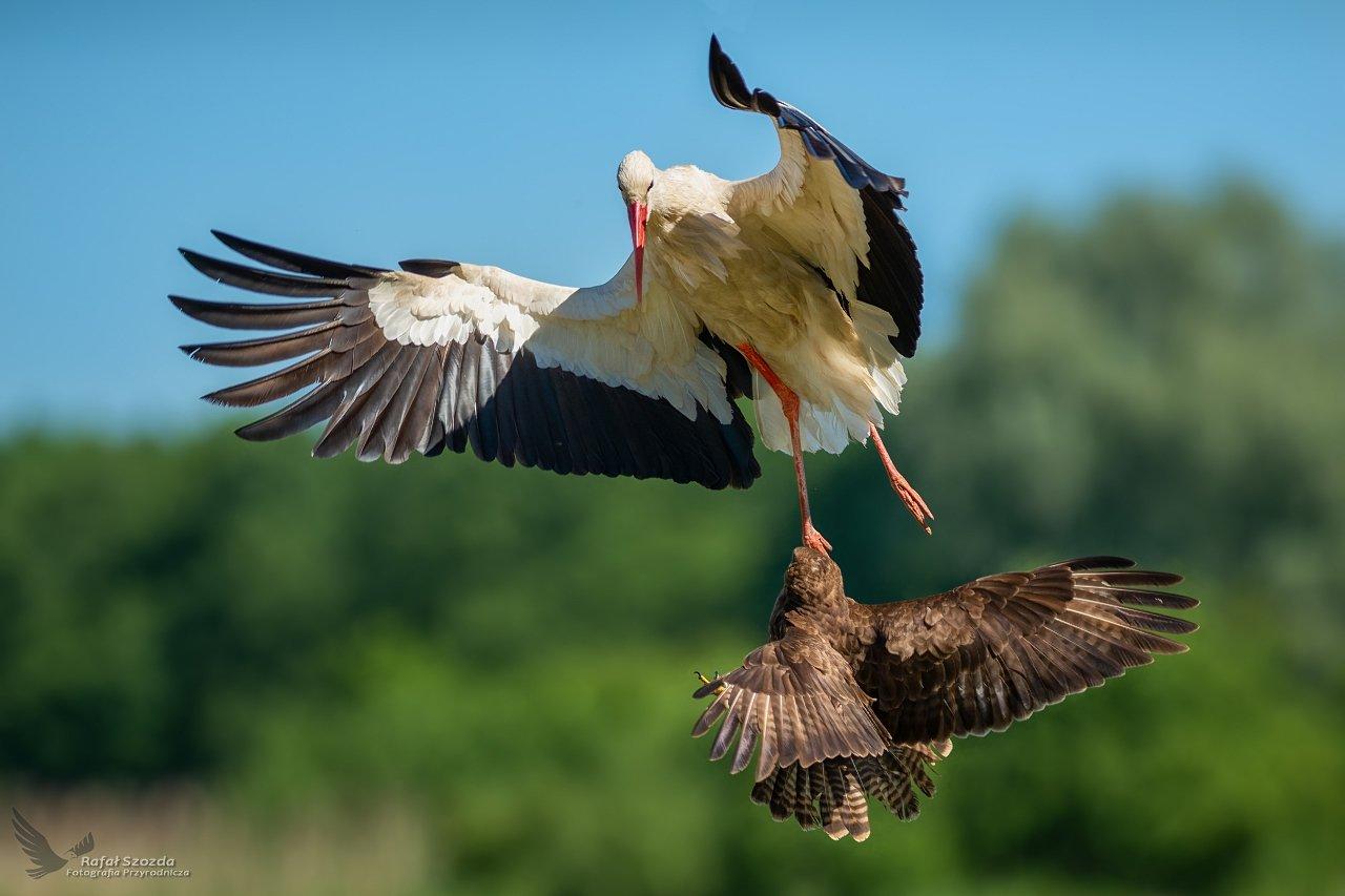 birds, natrure, animal, wildlife, colors, meadow, spring, fight, nikon, nikkor, lens, lubuskie, poland, Szozda Rafal