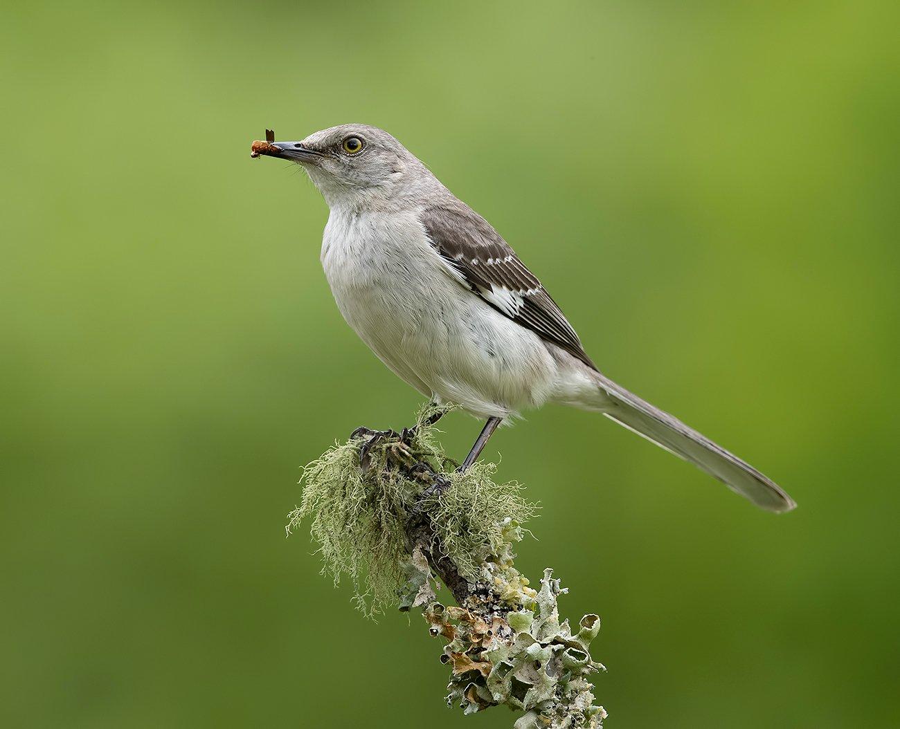 многоголосый пересмешник, northern mockingbird,  mockingbird, пересмешник, Elizabeth E