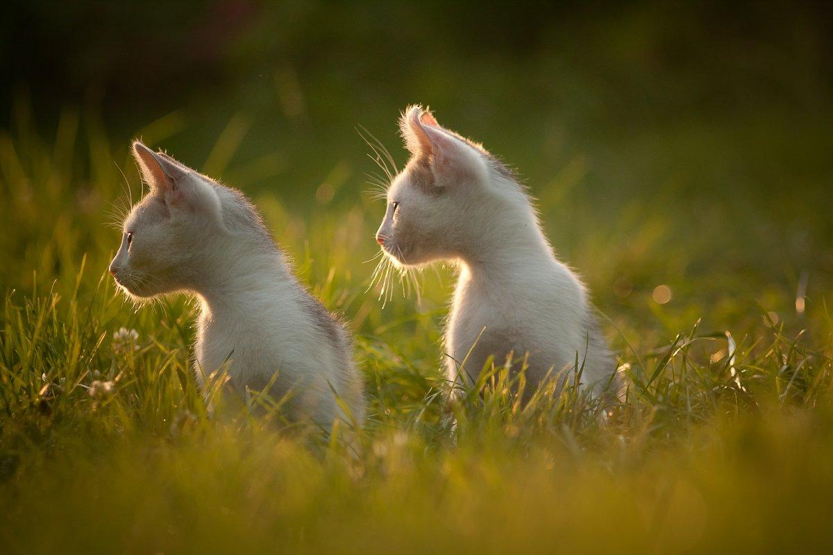 cats, nature, sunset, Gabriel Prescornita