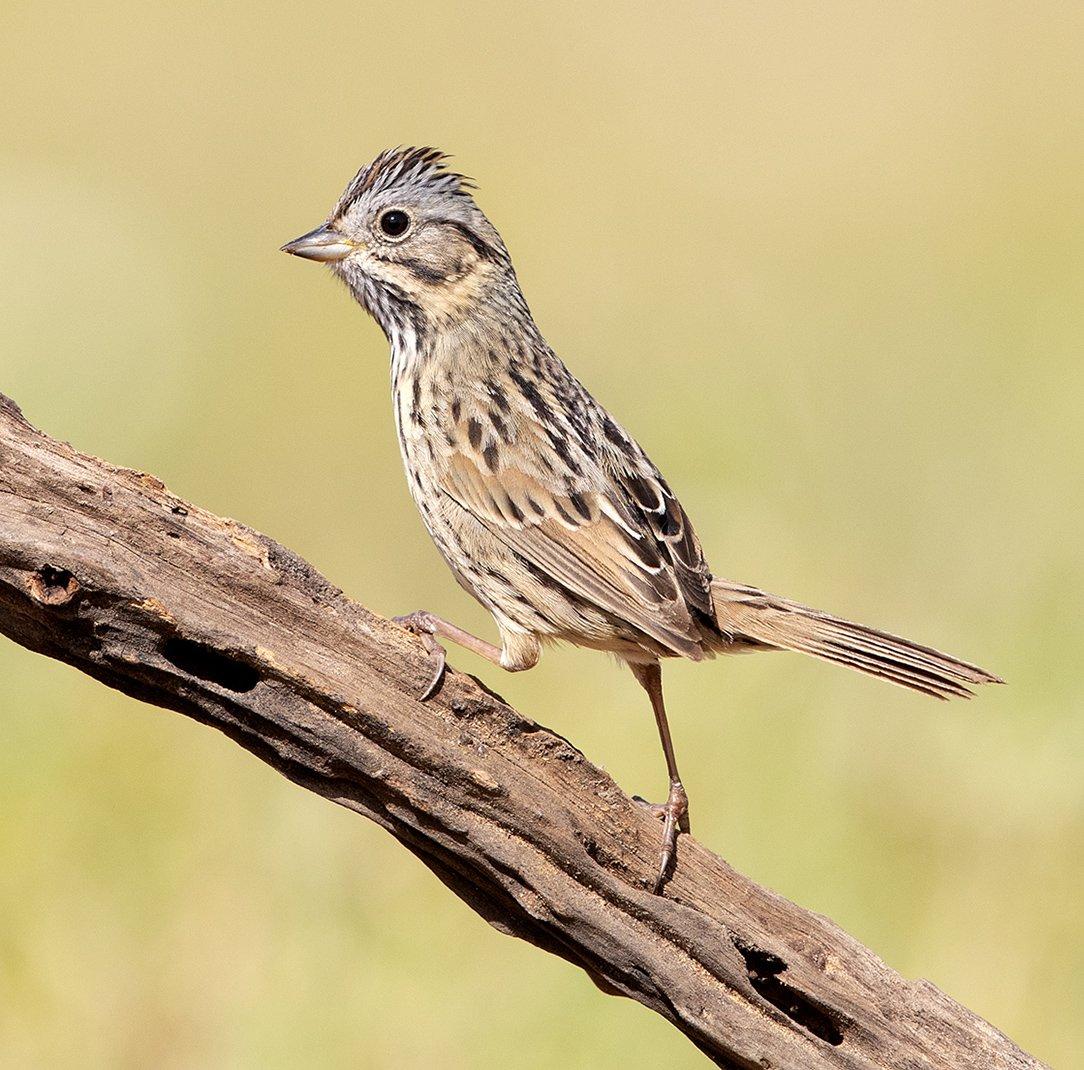 lincoln\'s sparrow, sparrow, texas, Elizabeth E