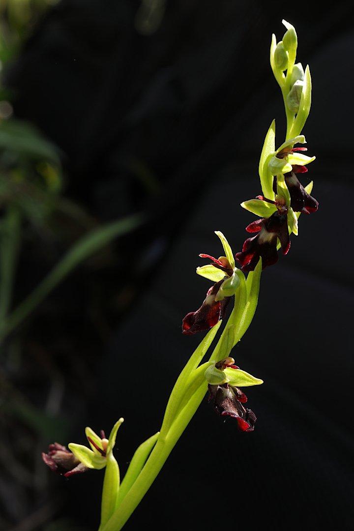цветок орхидея офрис, Александр Зорин