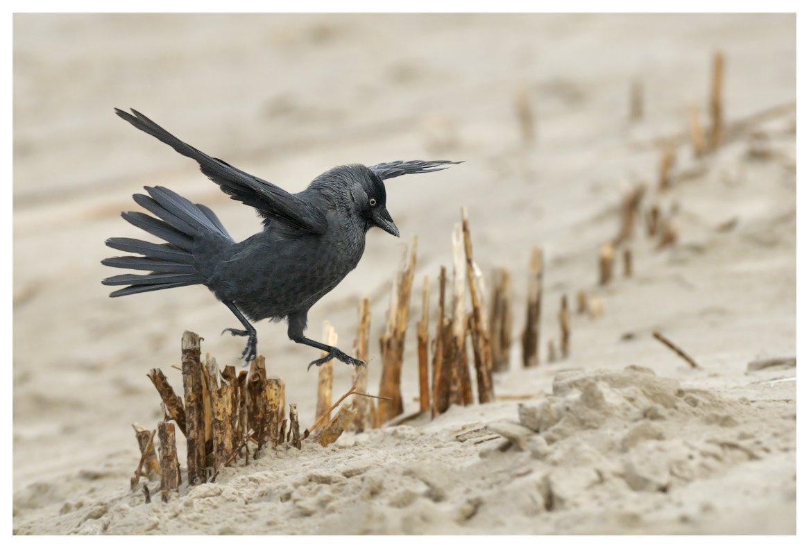 corvus monedula , молодая , галка, остров амеланд, нидерланды, Наталья Паклина