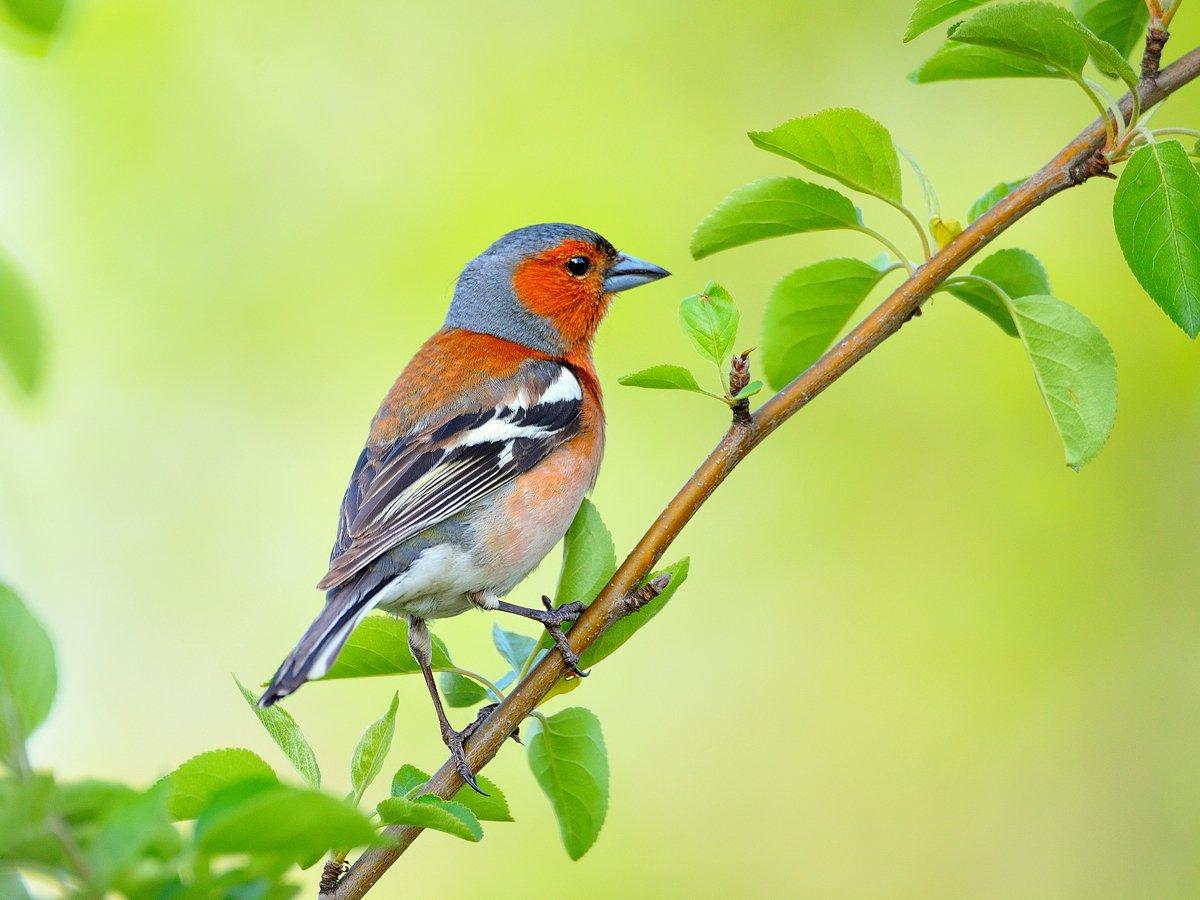 природа, фотоохота, зяблик, птицы, животные,, vladilenoff