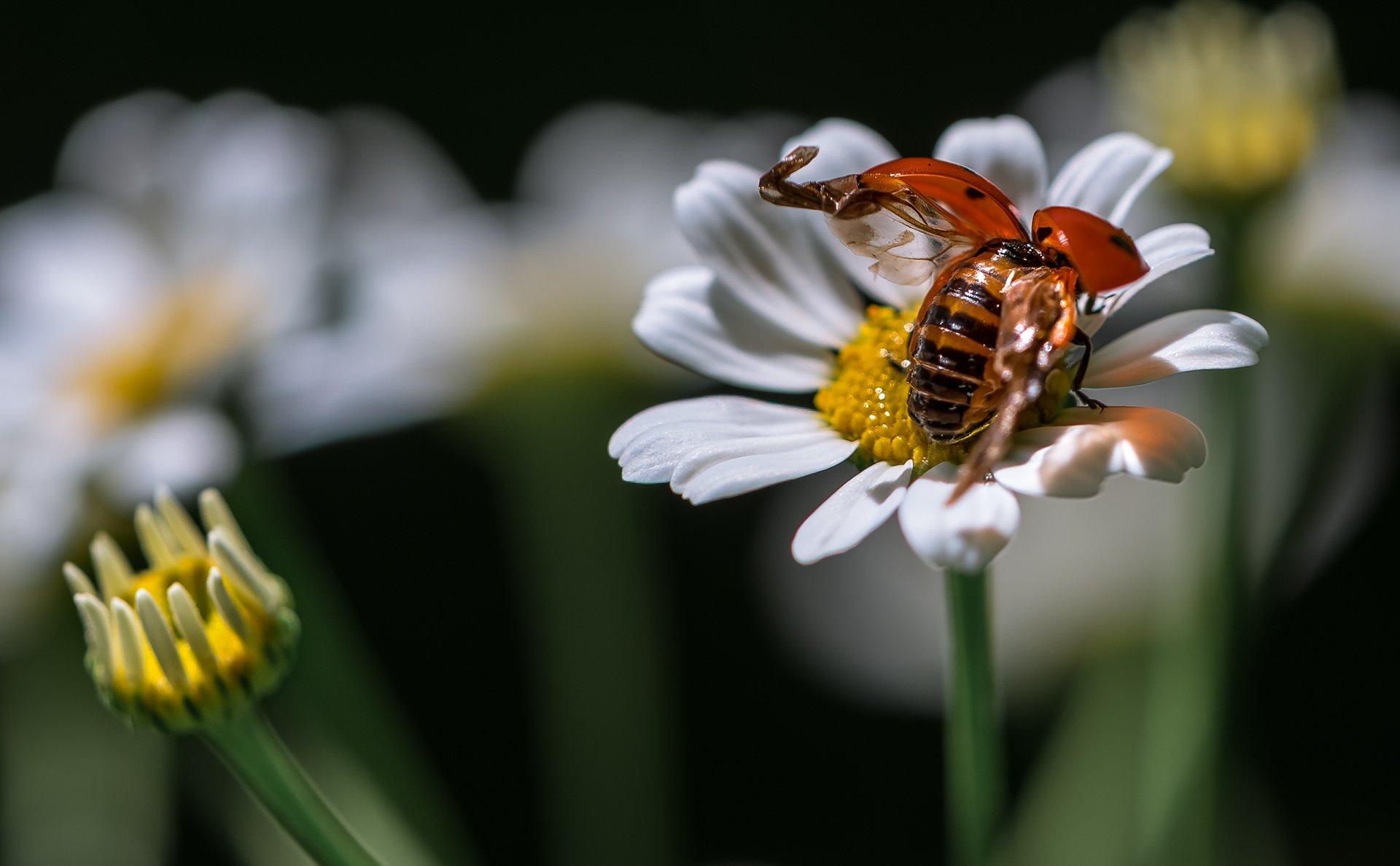 природа, макро, цветы, ромашка, жук, божья коровка, Неля Рачкова