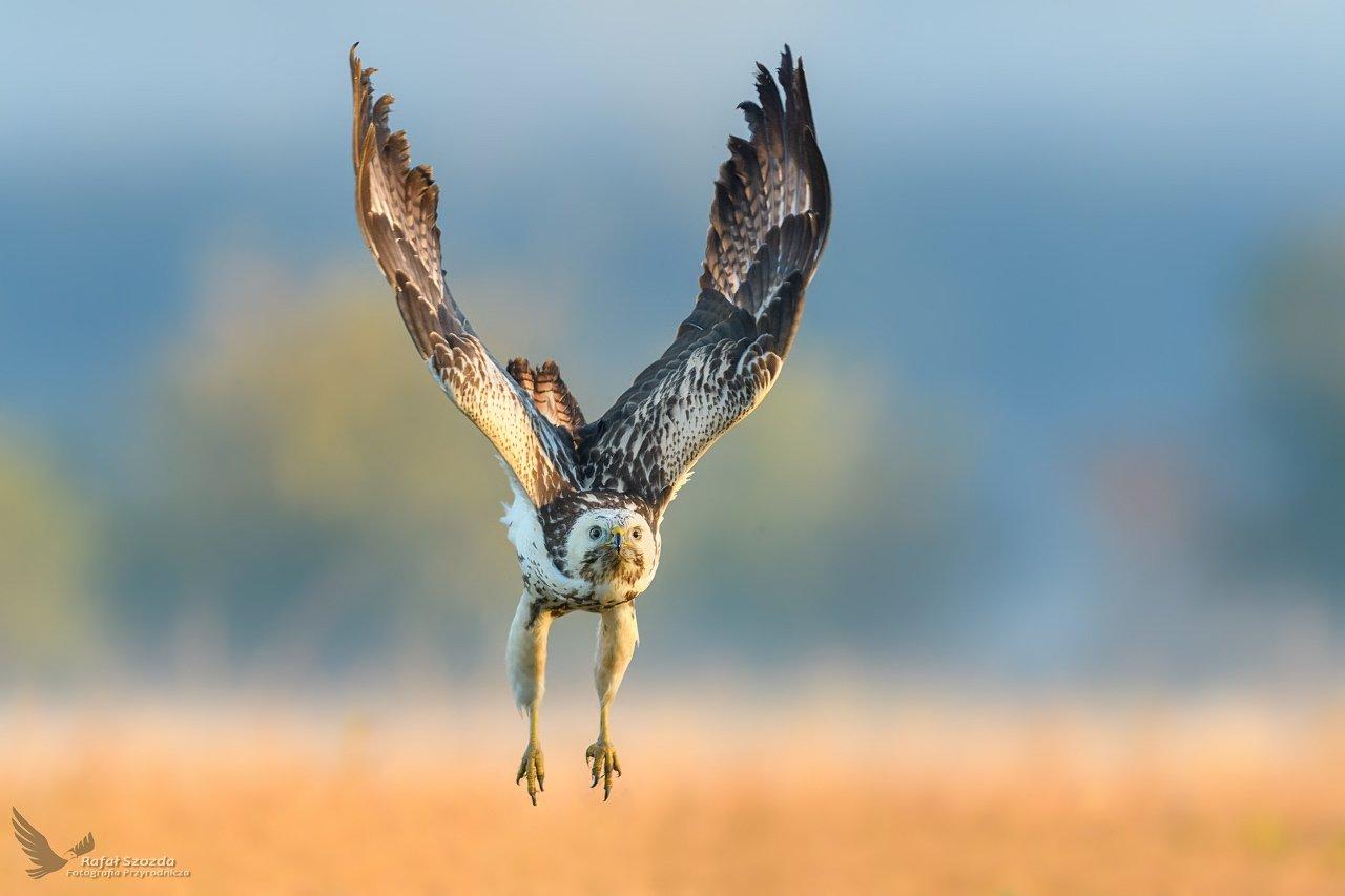 buzzard, birds, nature, animals, wildlife, colors, meadow, flight, spring, nikon, nikkor, lens, lubuskie, poland, freedom, Szozda Rafal