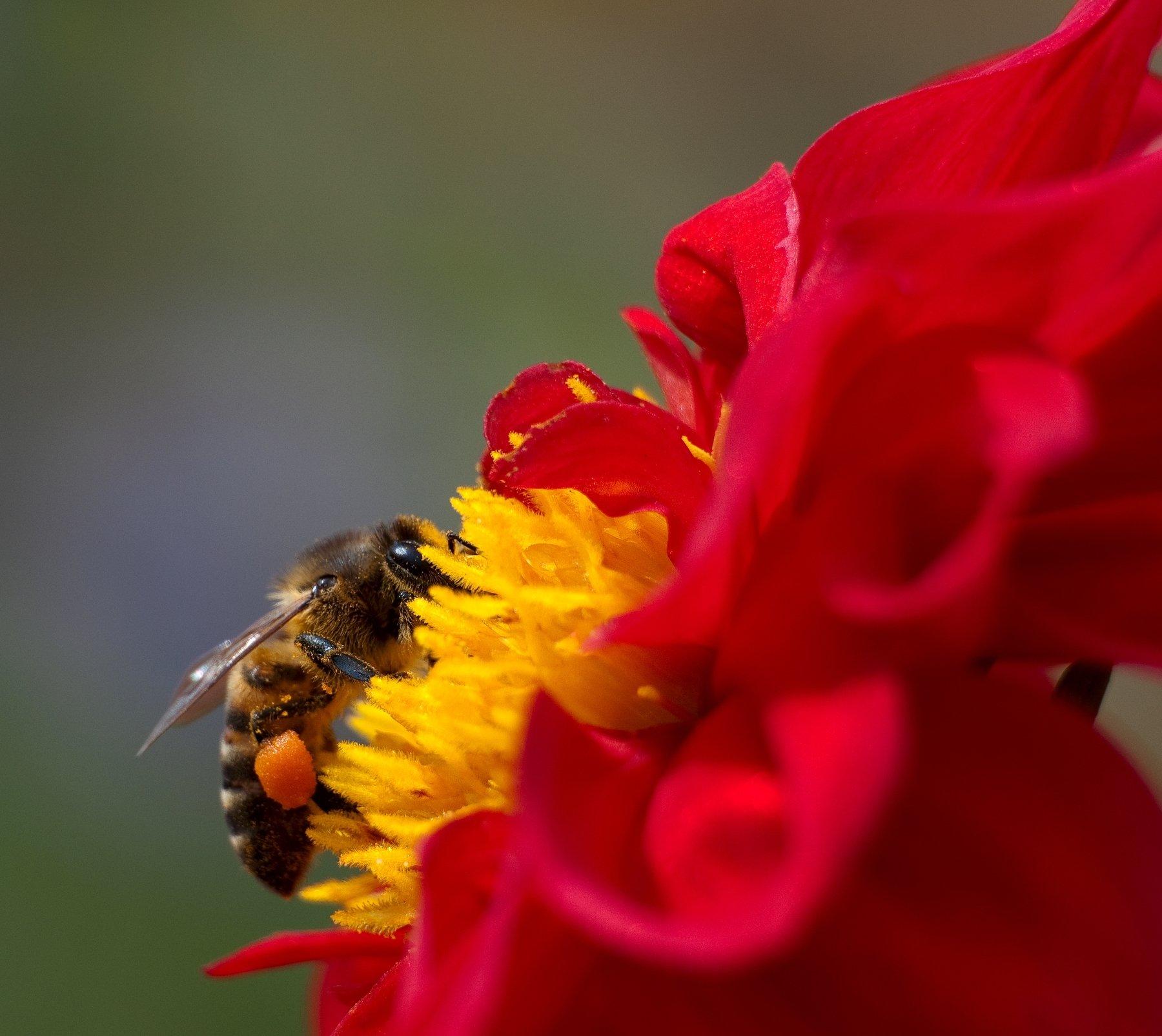 Пчела, цветок, лето, Алтай, Voldemar