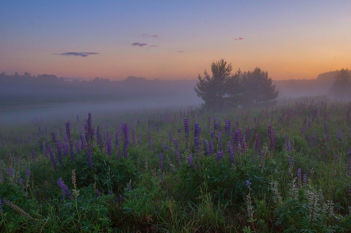 туман лето люпины сумерки лес, Марина Мурашова