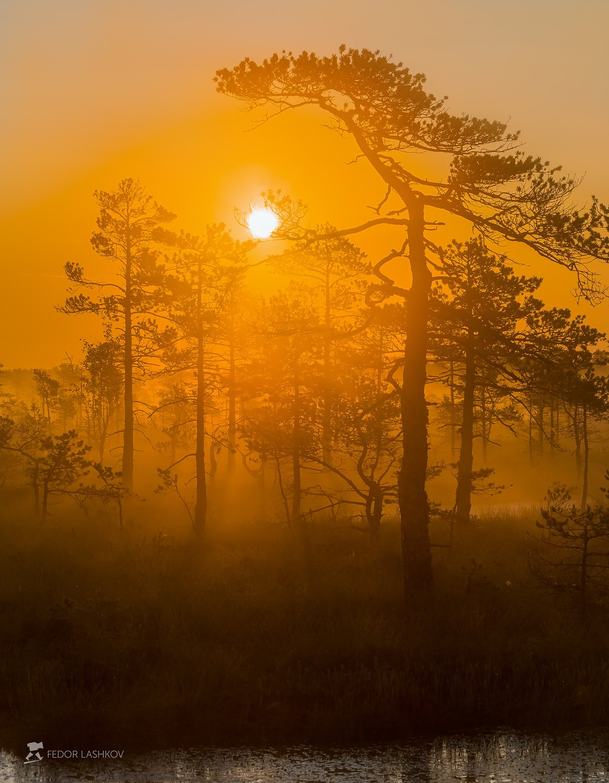 ленинградская область, деревья, сосна, болото, лето, рассвет, туман, оранжевый, дерево, солнце,, Лашков Фёдор