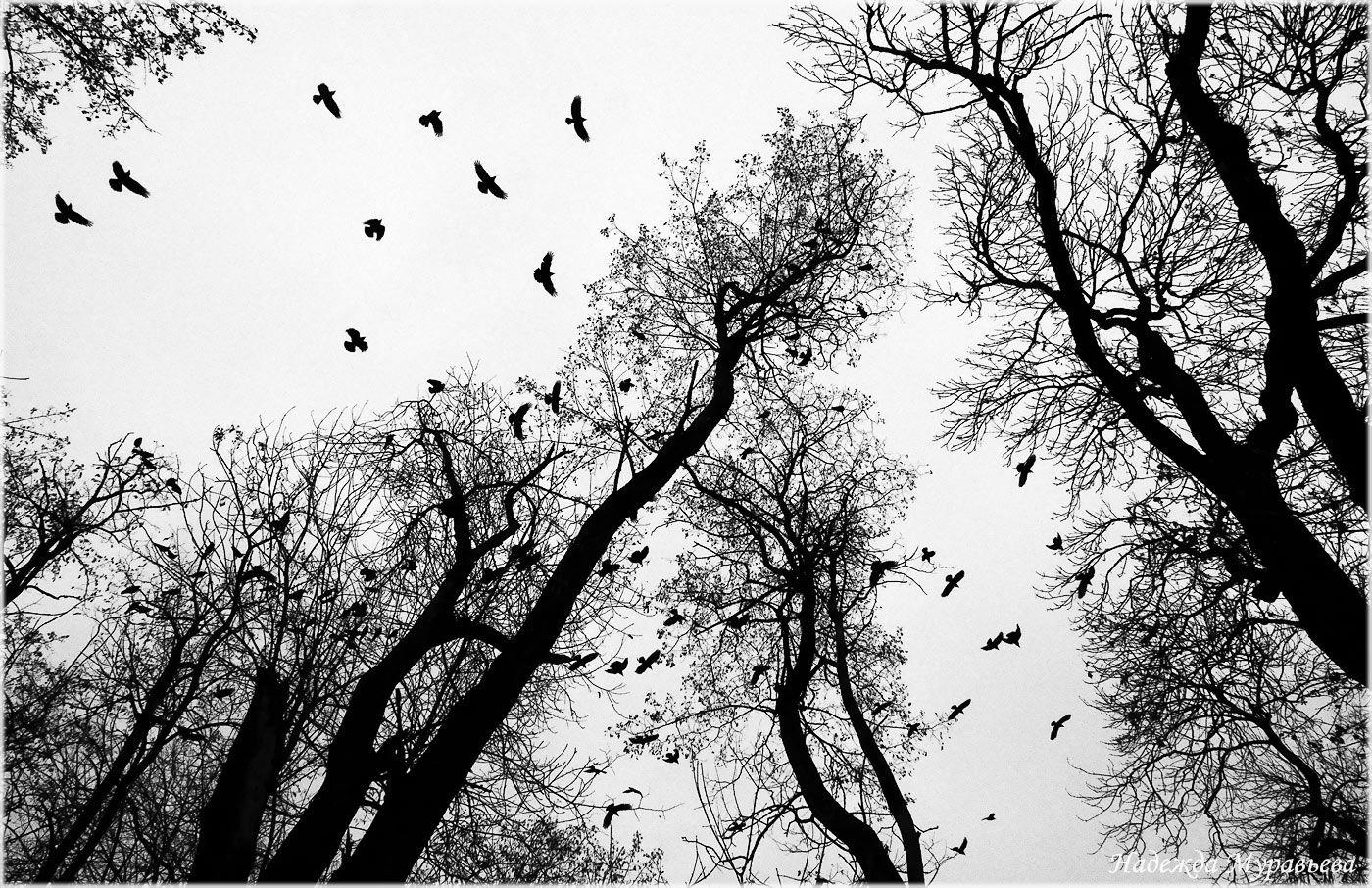 птицы, грачи, черно-белое, Надежда Муравьёва