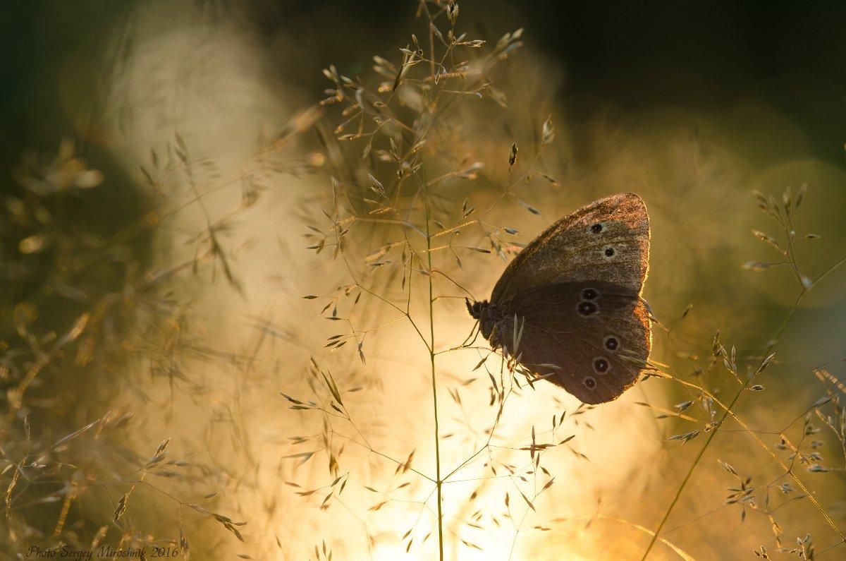 макро, бабочка, лето, красиво, растение, насекомое, вечер, закат, украина, Сергій Мірошник