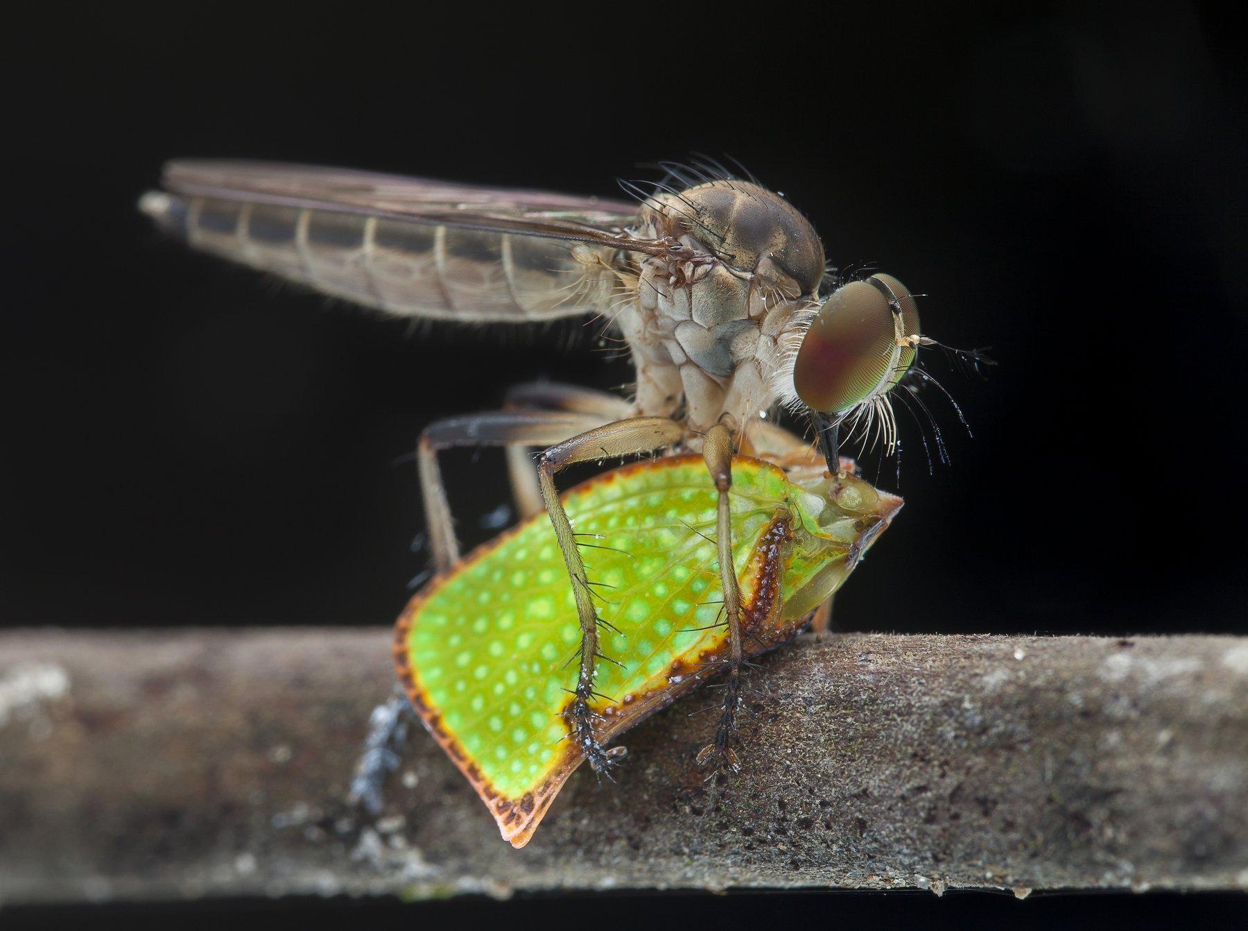 #macro#asilidae#colors#prey, Lim Choo How