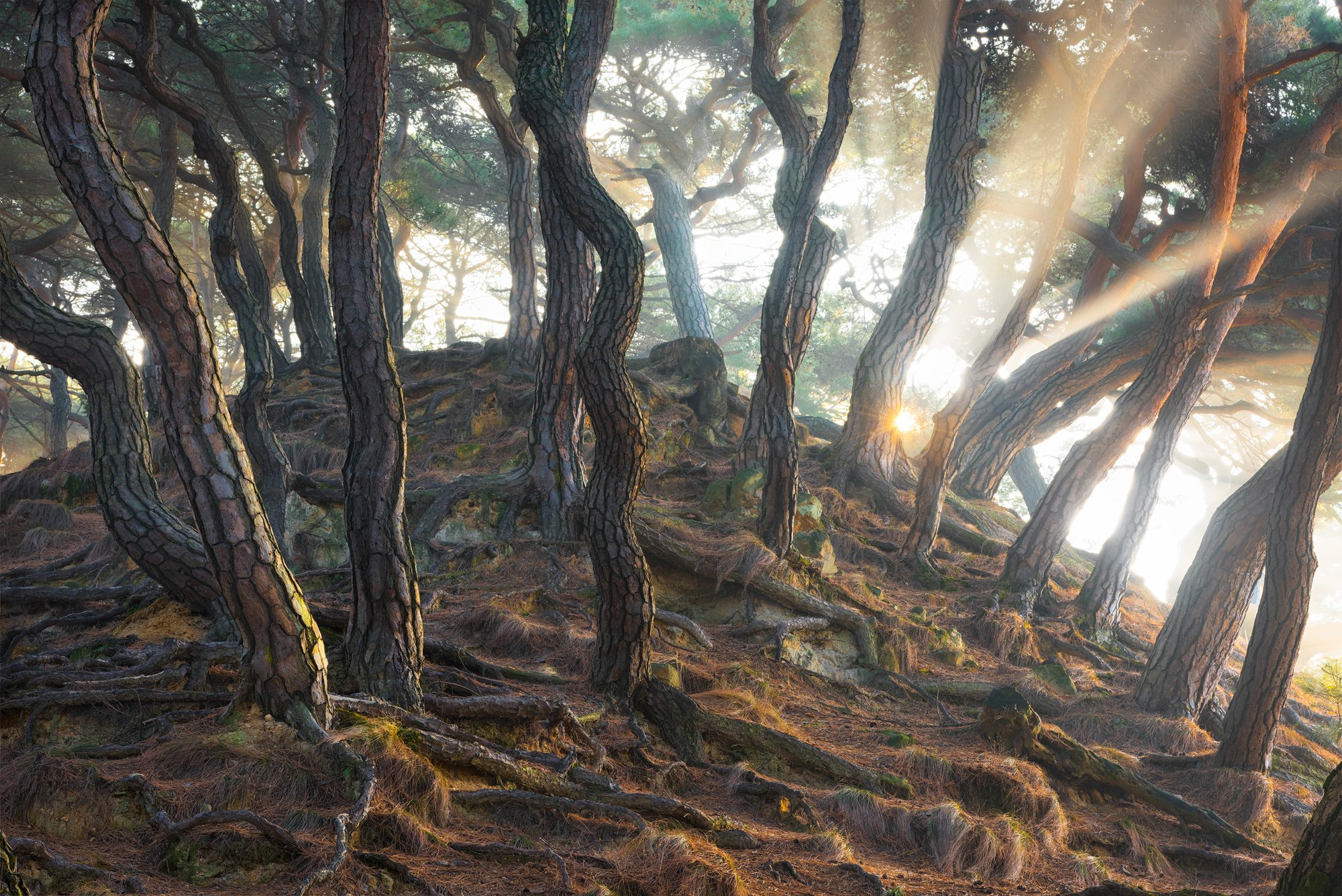 pine, forest, light, woods, roots, nature, tiger skin, trees, trunks, snake, 류재윤