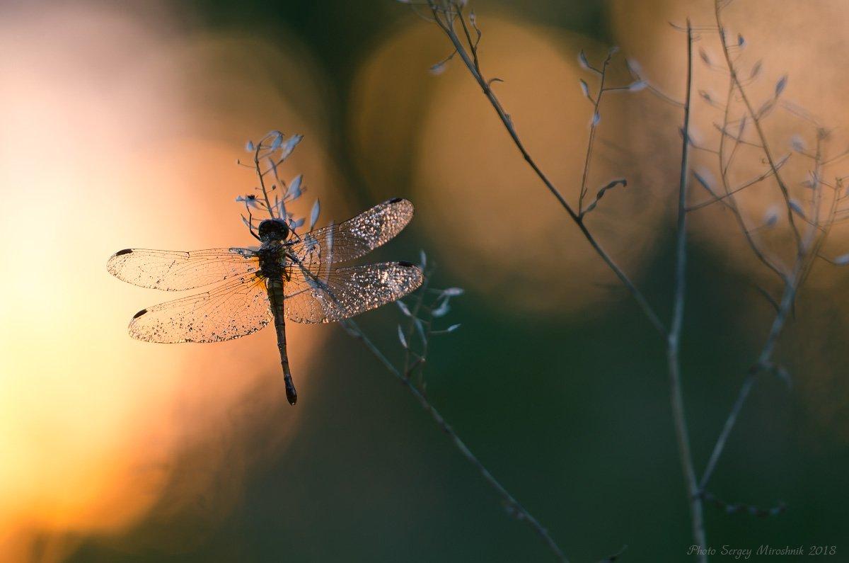 стрекоза, вечер, закат, солнце, макро, красиво, растение, Сергій Мірошник