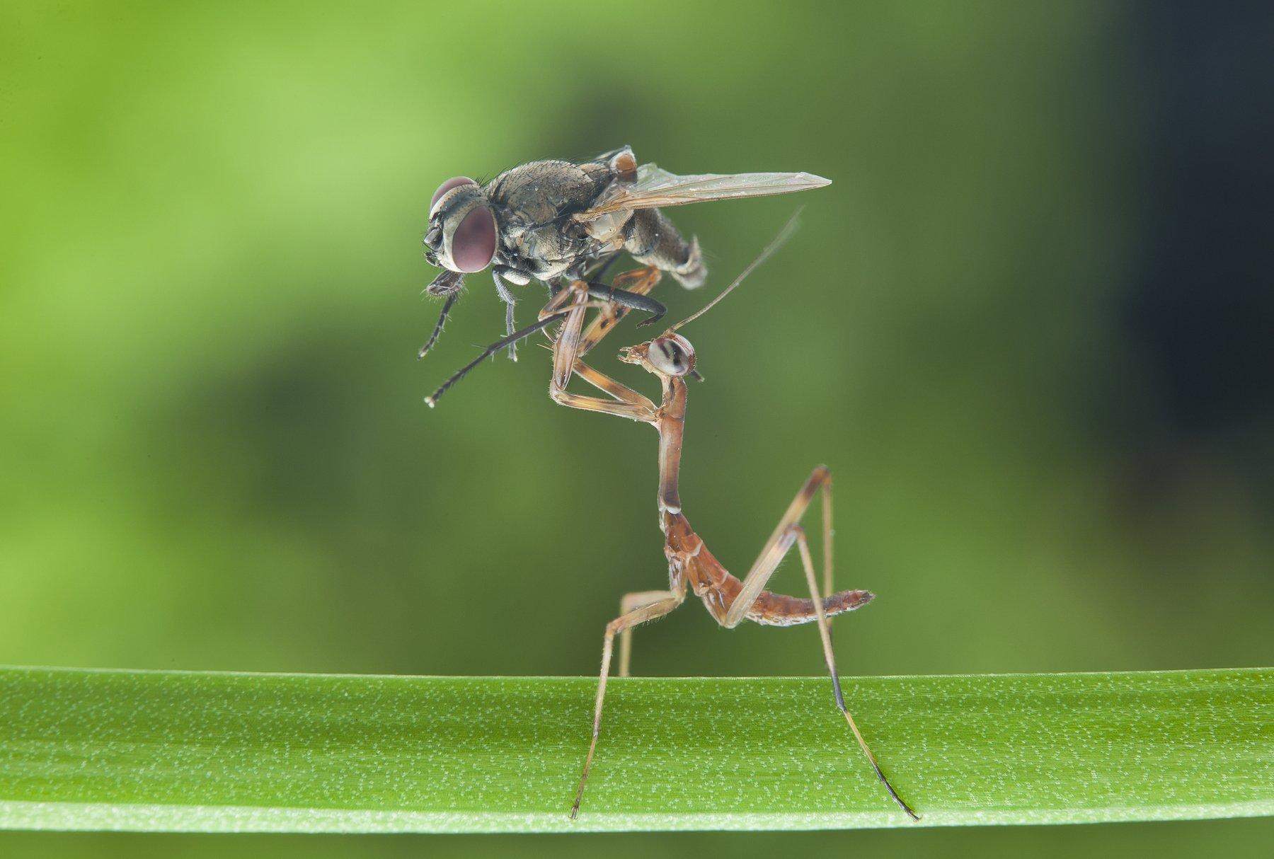 #mantis#macro#colors#prey, Lim Choo How