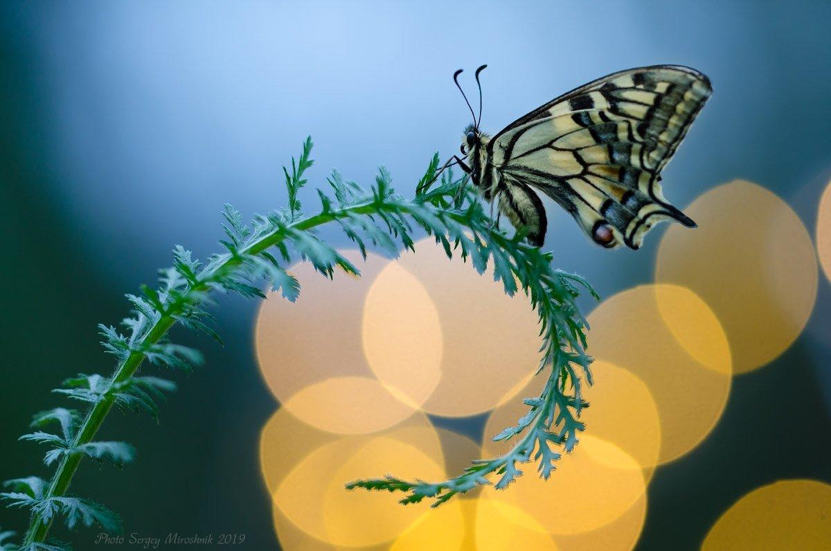 макро, махаон, весна, май, красиво, растение, насекомое, вечер, закат, украина, Сергій Мірошник