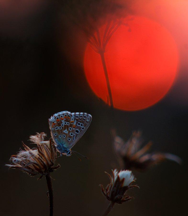 макро, бабочка, голубянка, вечер, солнце, закат, Игорь Рябов