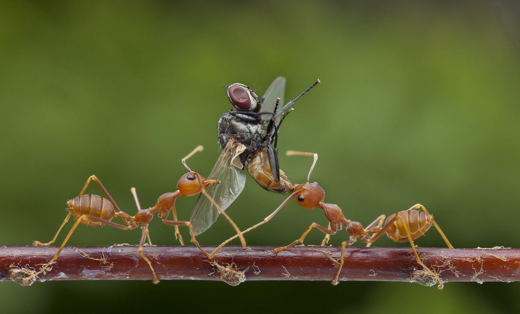 #macro#ant#fly#calors, Lim Choo How